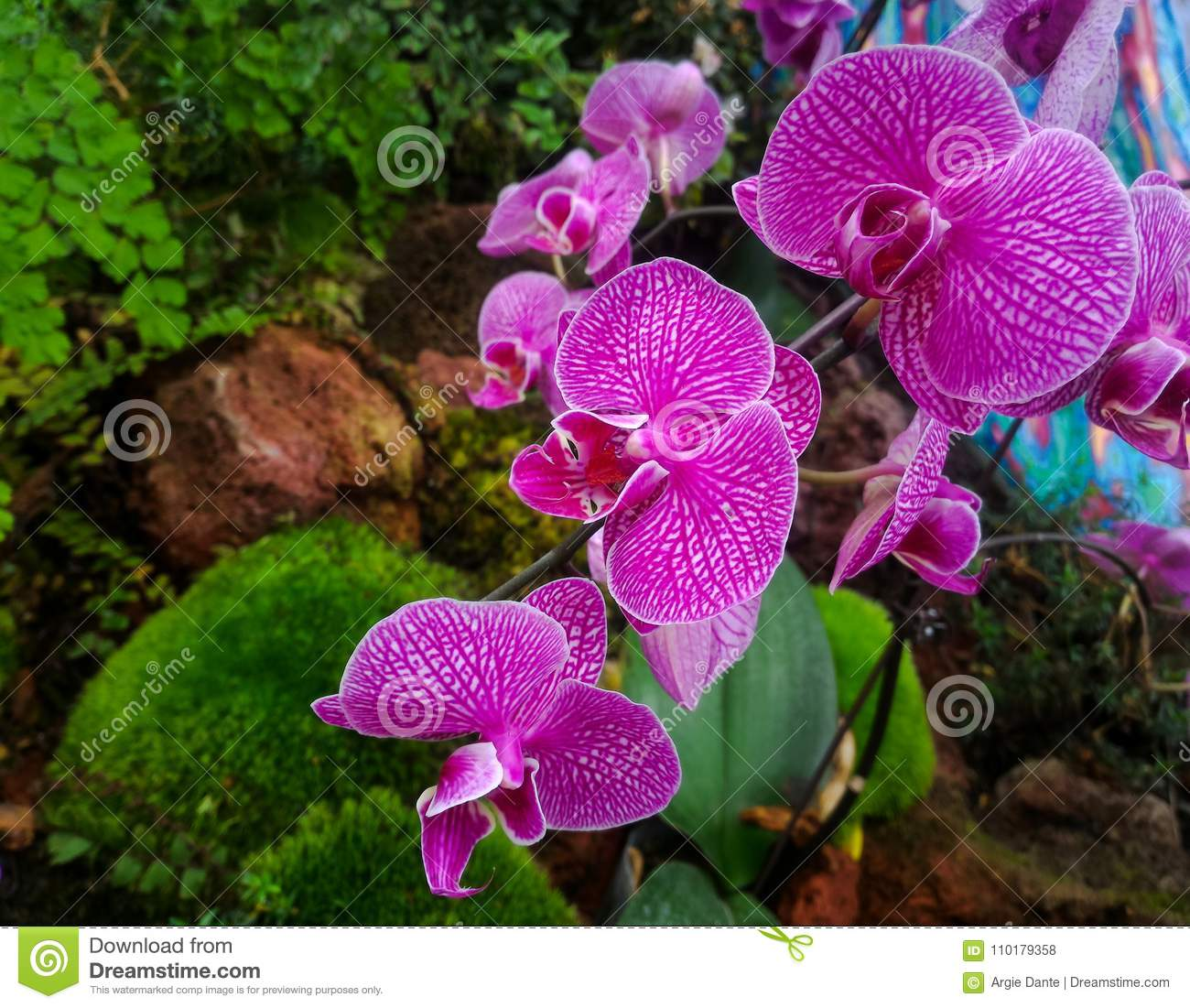 Beautiful pink orchid flower national flower of singapore stock beautiful pink orchid flower national flower of singapore izmirmasajfo