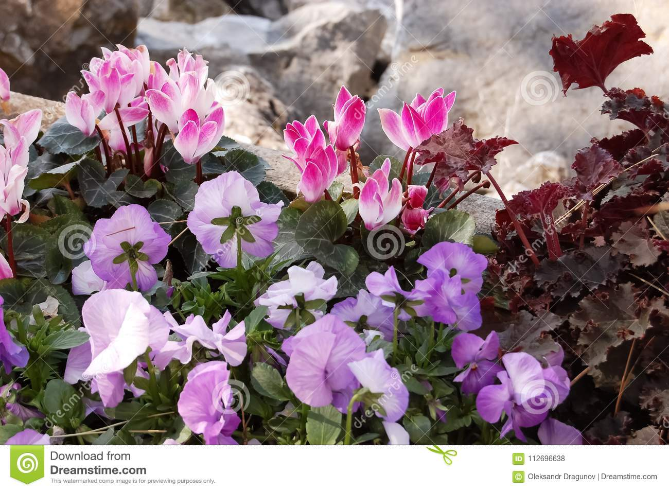 Beautiful Flowers Of Pink Cyclamen And Purple Pansies Near The S