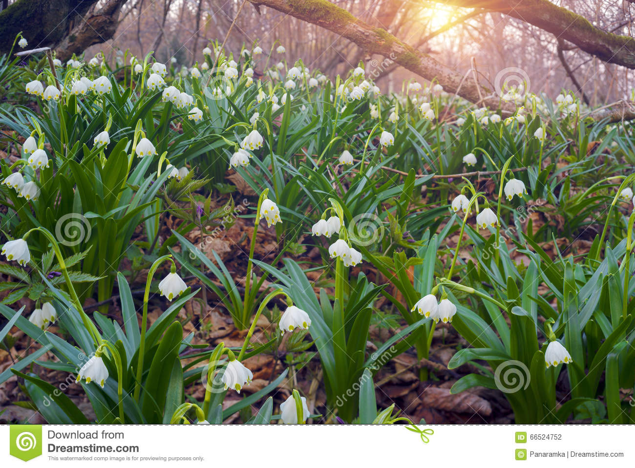 Beautiful Flowers Primroses Stock Photo Image Of Panorama Flower