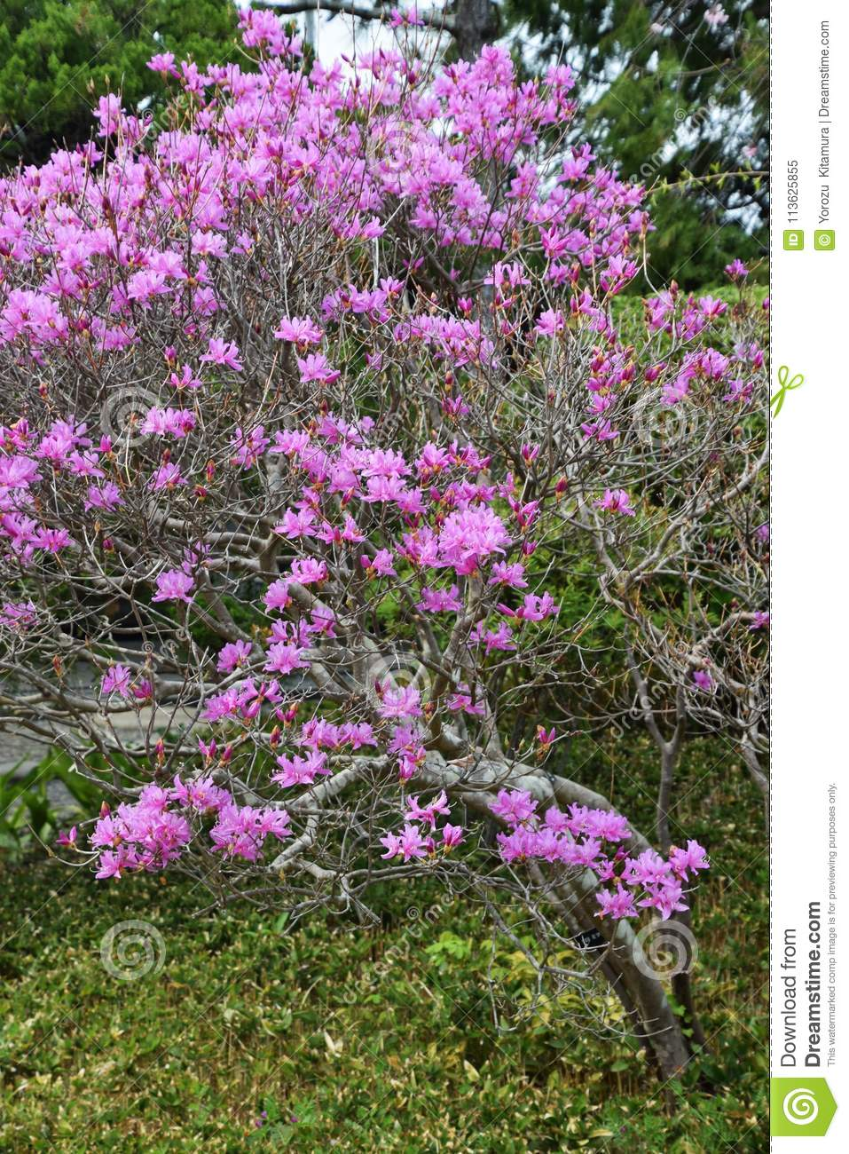 Flowers Of Rhododendron Dilatanum Stock Image Image Of