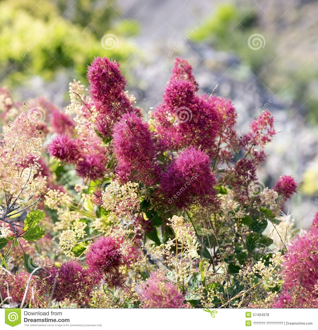 Beautiful flowers of the smoke tree stock photo image of download beautiful flowers of the smoke tree stock photo image of inflorescence shrubs izmirmasajfo