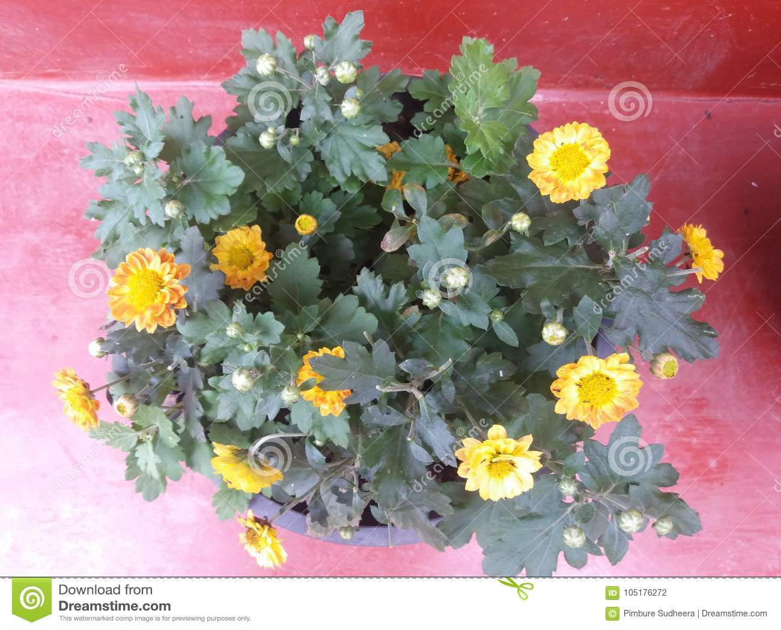 Beautiful flowers in sri lanka home gradan flowers pant stock photo royalty free stock photo izmirmasajfo Choice Image