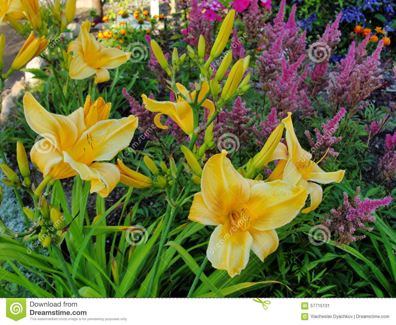 beautiful flowers in the summer garden. large yellow terry day-lily