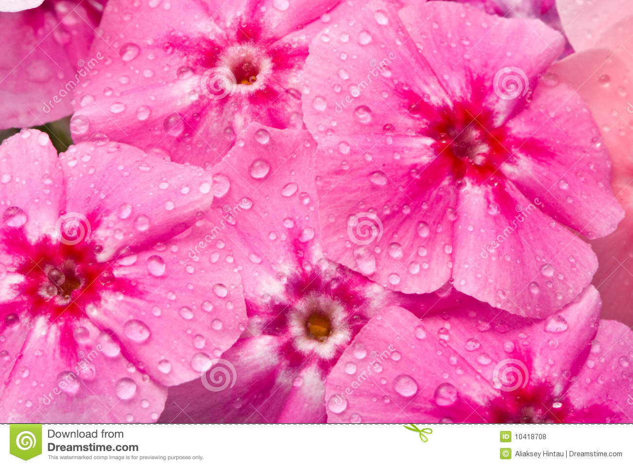 Beautiful Flowers With Water Drops Stock Photo Image Of Present