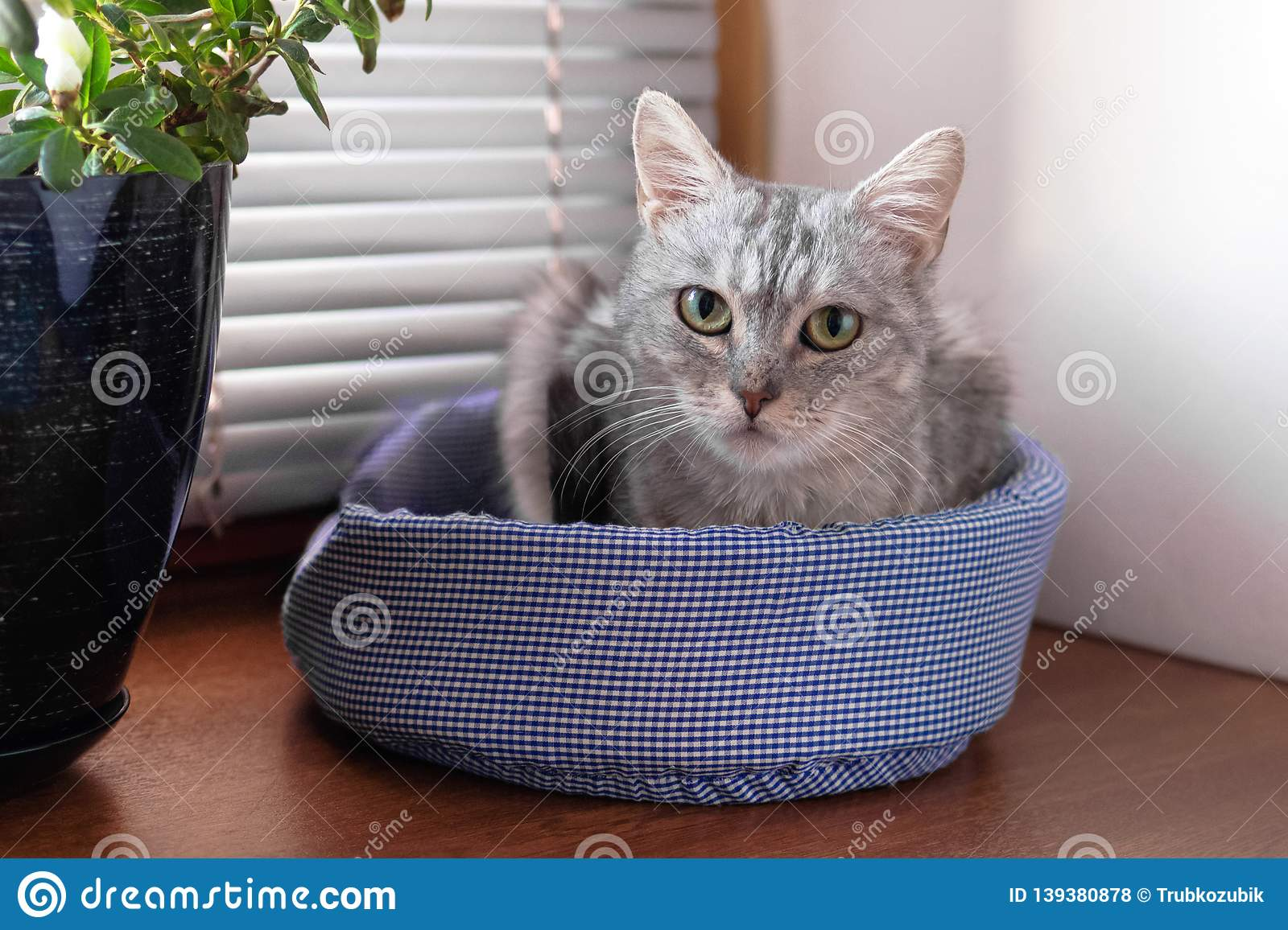 Beautiful gray tabby cat with green eyes is sitting on a cat bed near to a window and pot plant