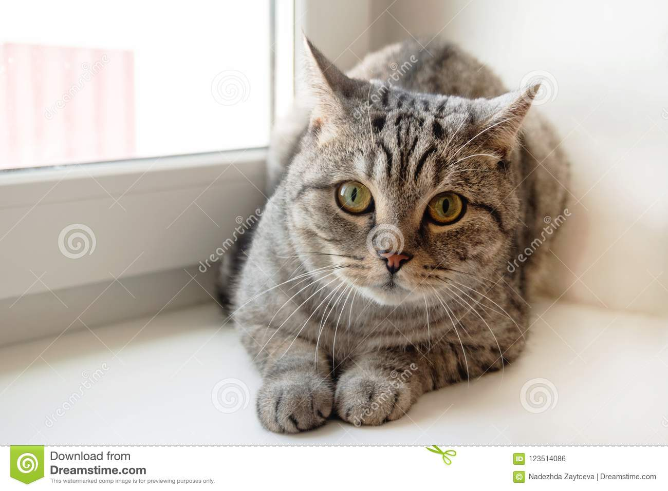 Fluffy gray tabby cat with green eyes is sitting near to the window.