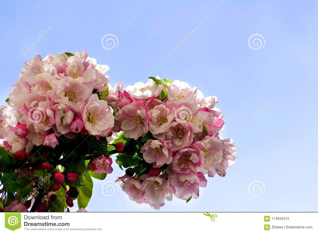 Blooming Pear Tree Stock Photo Image Of Fruit April 114643412