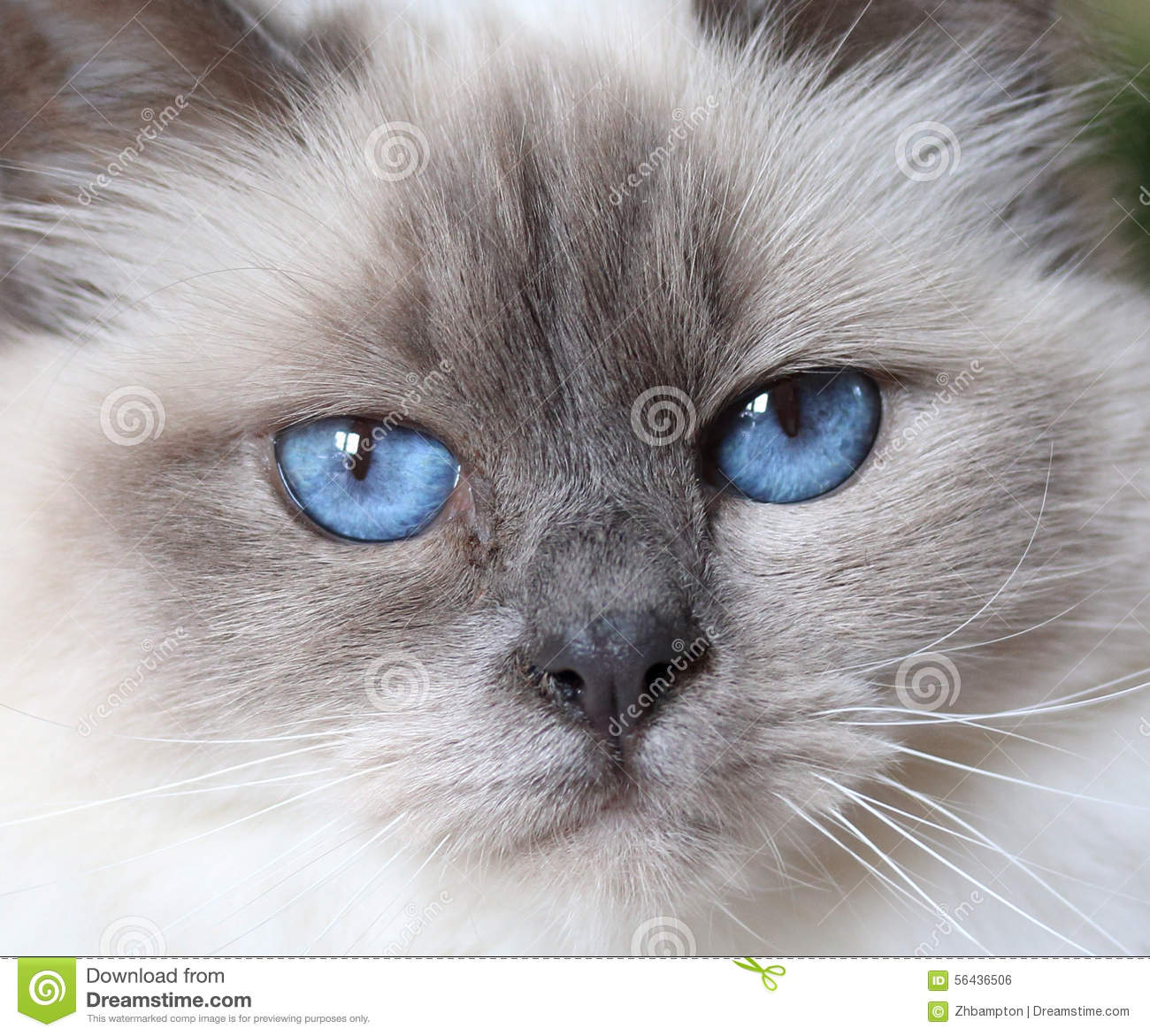 Close Up Of A Beautiful Fluffy White Baby Blue Eyed Birman Cat Stock Photo Image Of Faces Facial 56436506