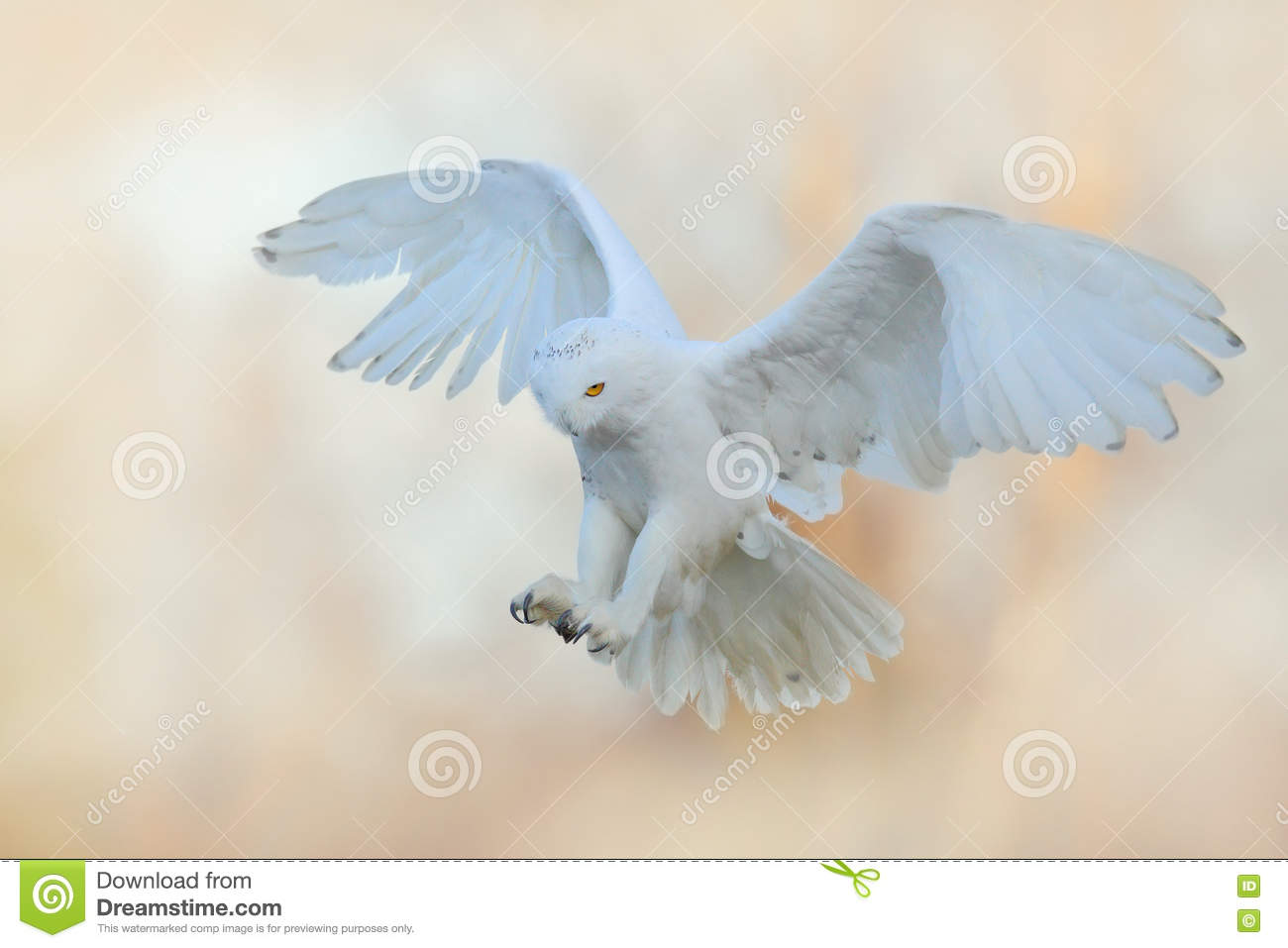 Beautiful fly of snowy owl. Snowy owl, Nyctea scandiaca, rare bird flying on the sky. Winter action scene with open wings, Finland