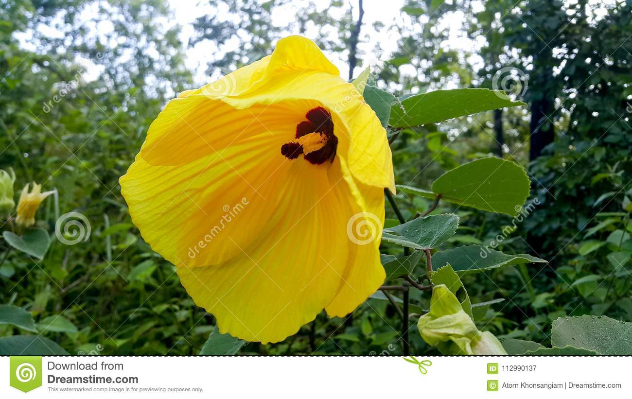 Beautiful forest hibiscus in the forest.