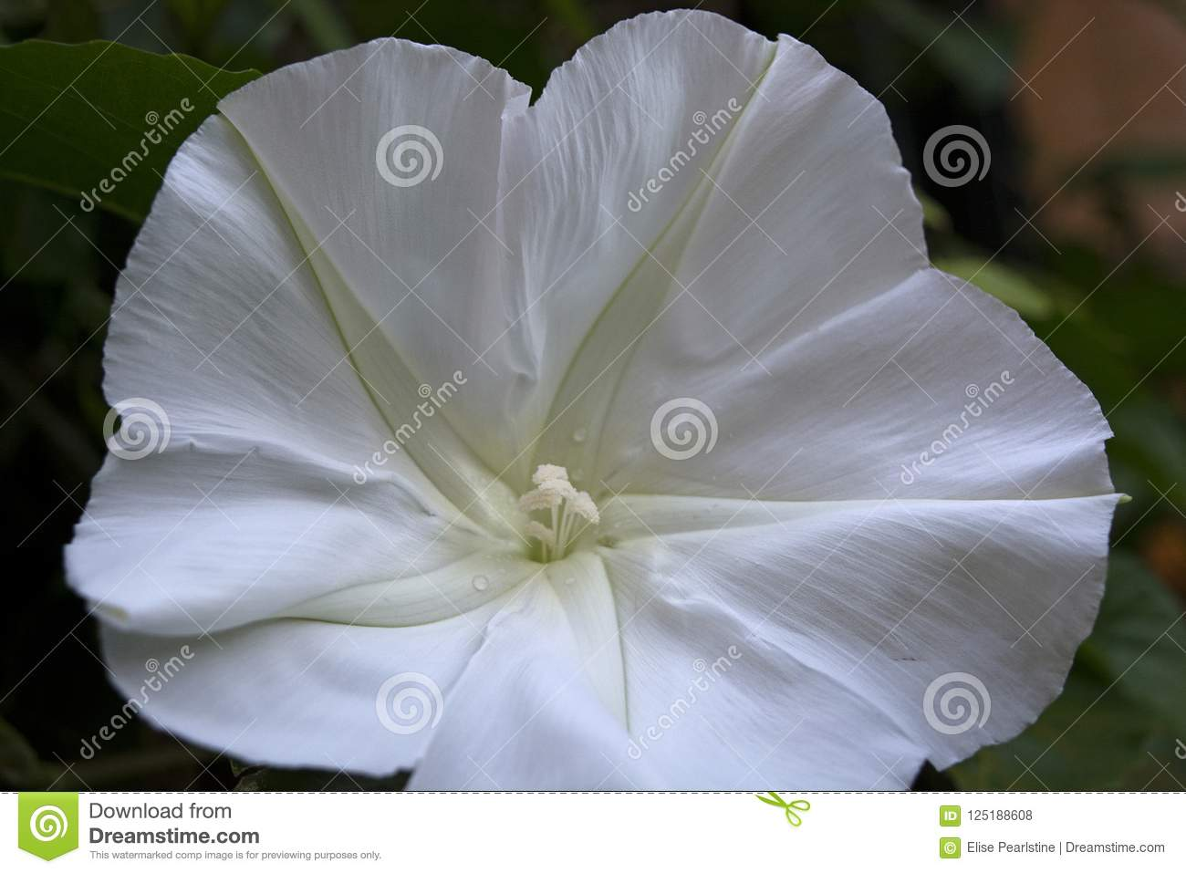 Beautiful Fragrant Moon Vine White Flower Blooms At Night Stock