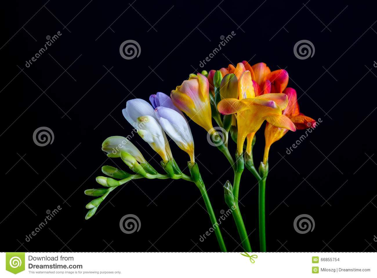 Beautiful freesia flowers bouquet isolated on black stock photo beautiful freesia flowers bouquet isolated on black izmirmasajfo Gallery