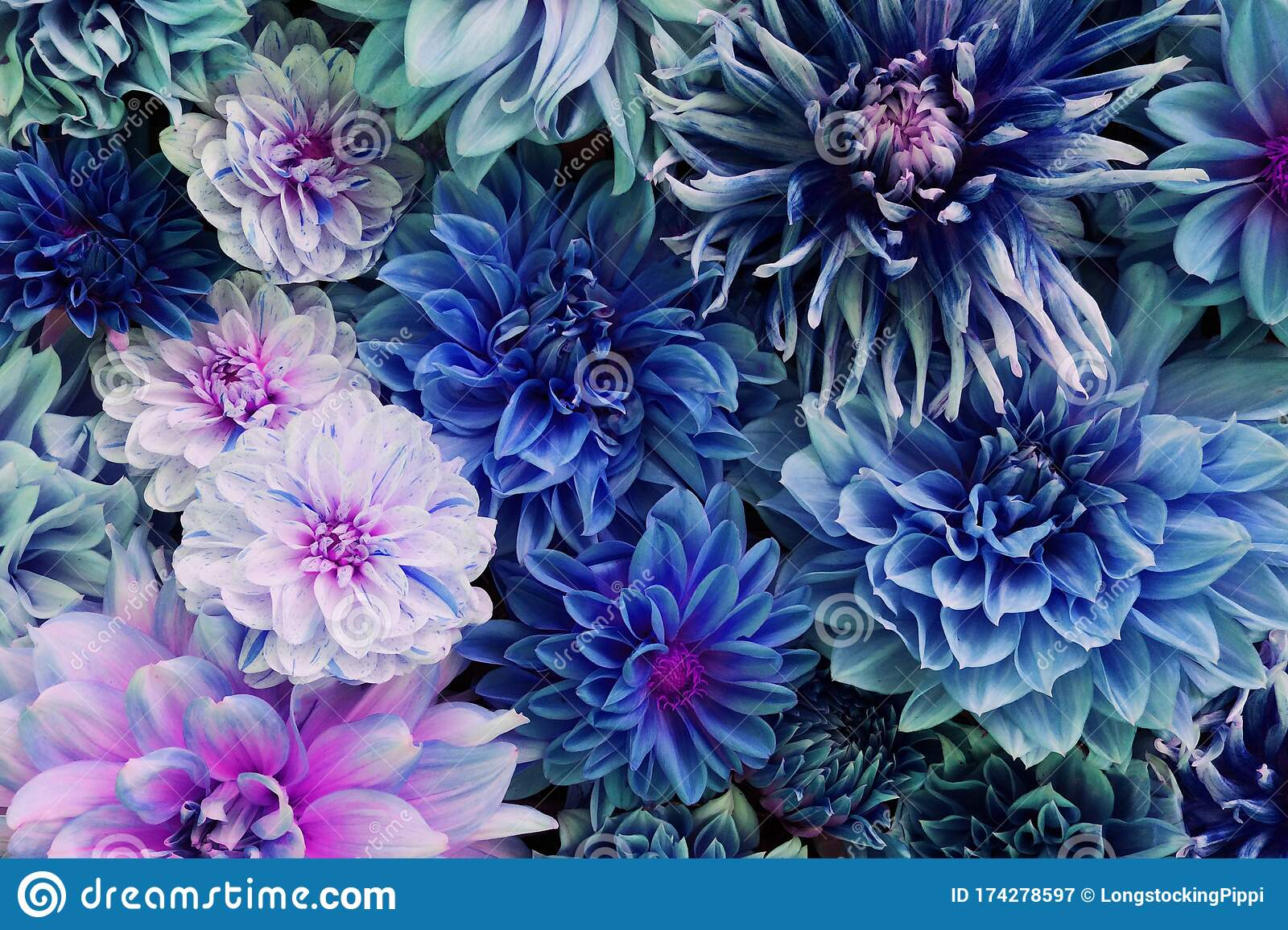 Beautiful Fresh Colorful Blue And Purple Dahlia Flowers In Full Bloom Stock Image Image Of Bouquet Card 174278597