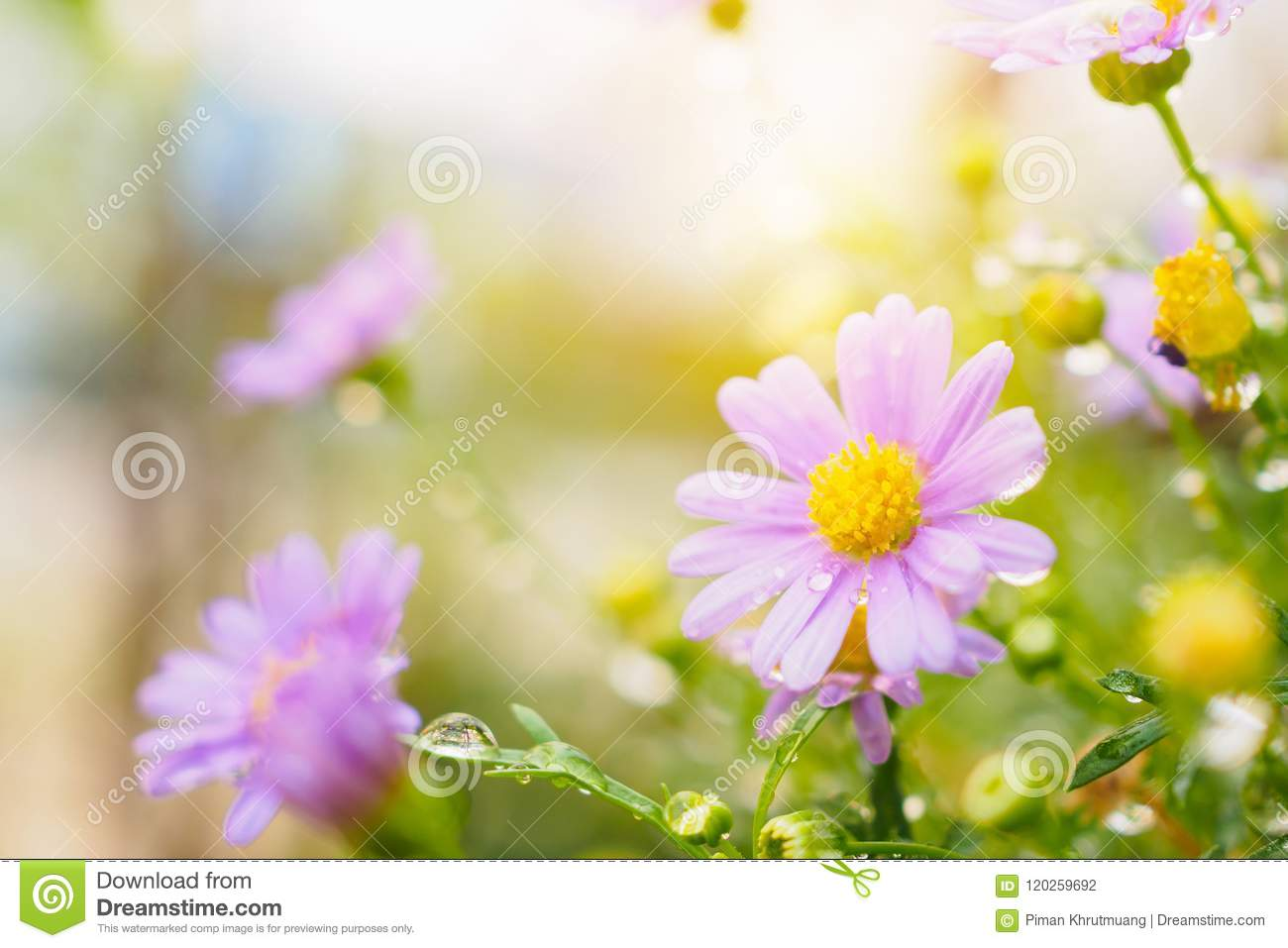 Beautiful Fresh Daisy Flowers With Water Drops On Meadow Stock Photo