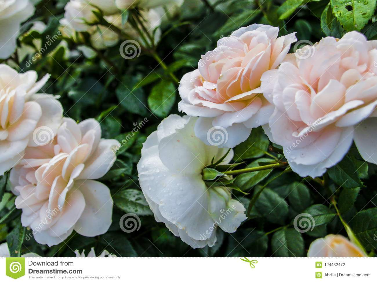 Beautiful Fresh Decorative Rose Close Up A Bouquet Of Roses And