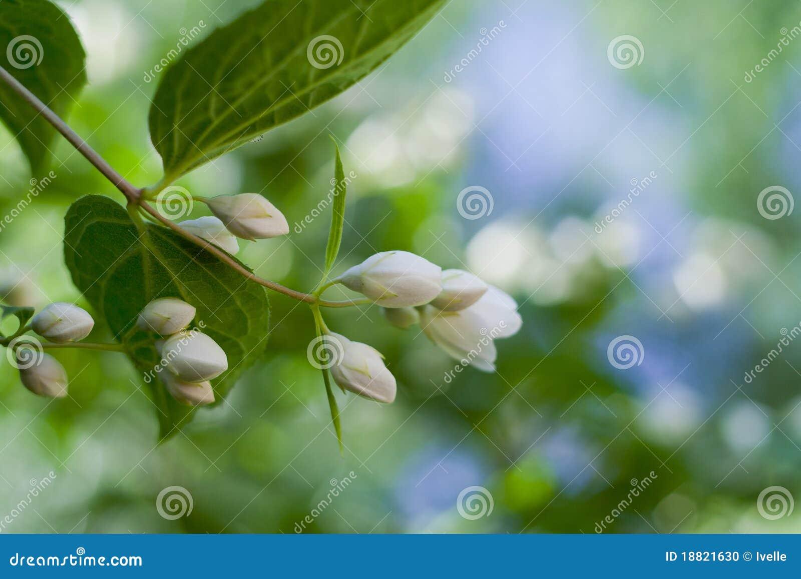 Beautiful fresh jasmine flowers stock photo image of green blue beautiful fresh jasmine flowers izmirmasajfo Gallery