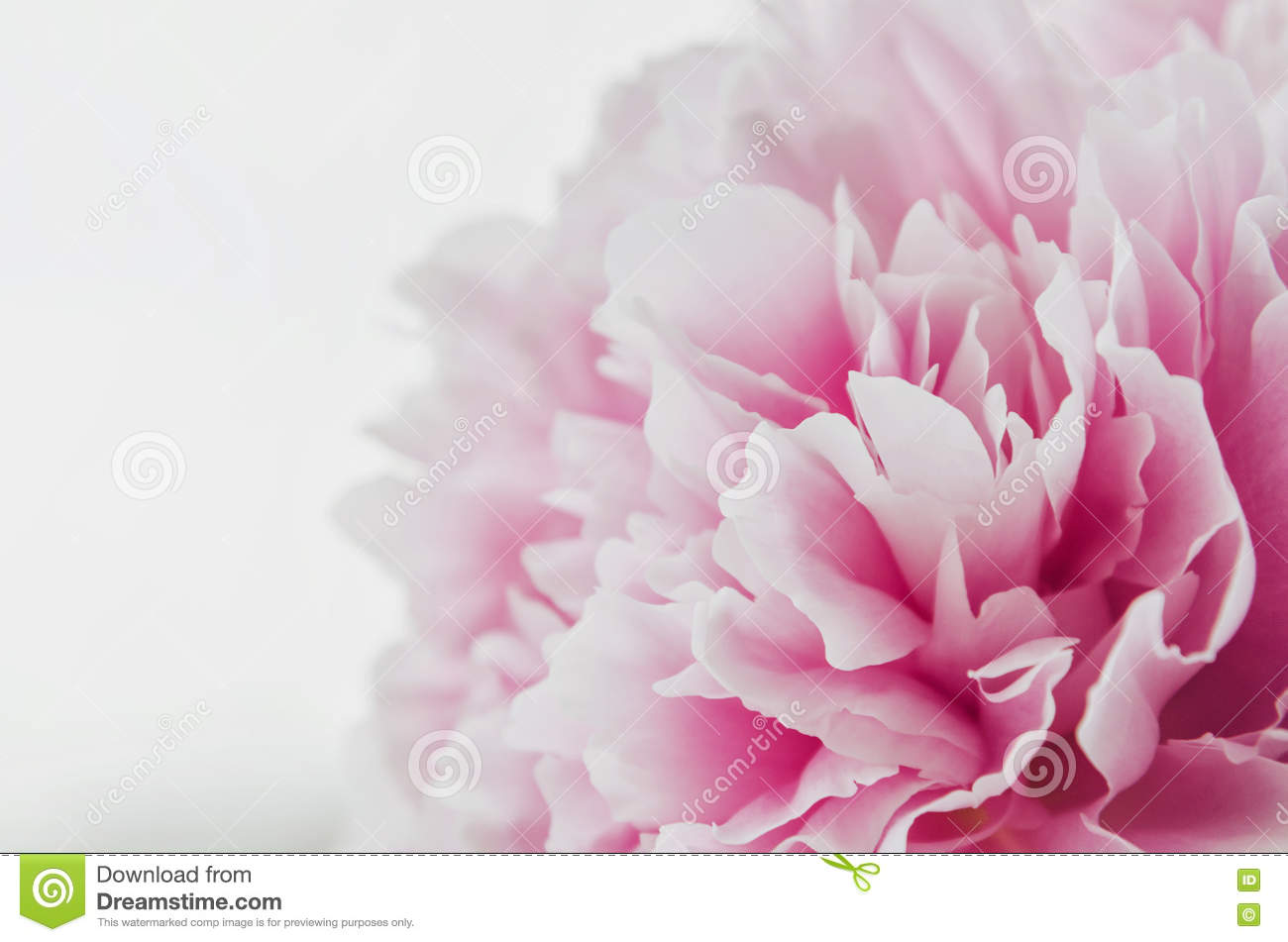 Beautiful fresh pink peony flower isolated on white background. Peonies summer . Love floral. Macro image. Place for