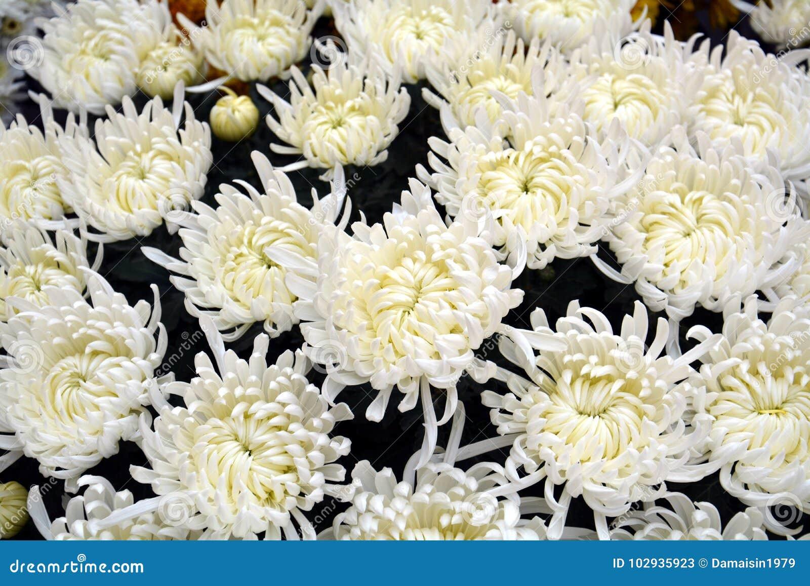 Beautiful Fresh White Flowers Petals Natural Background Garden