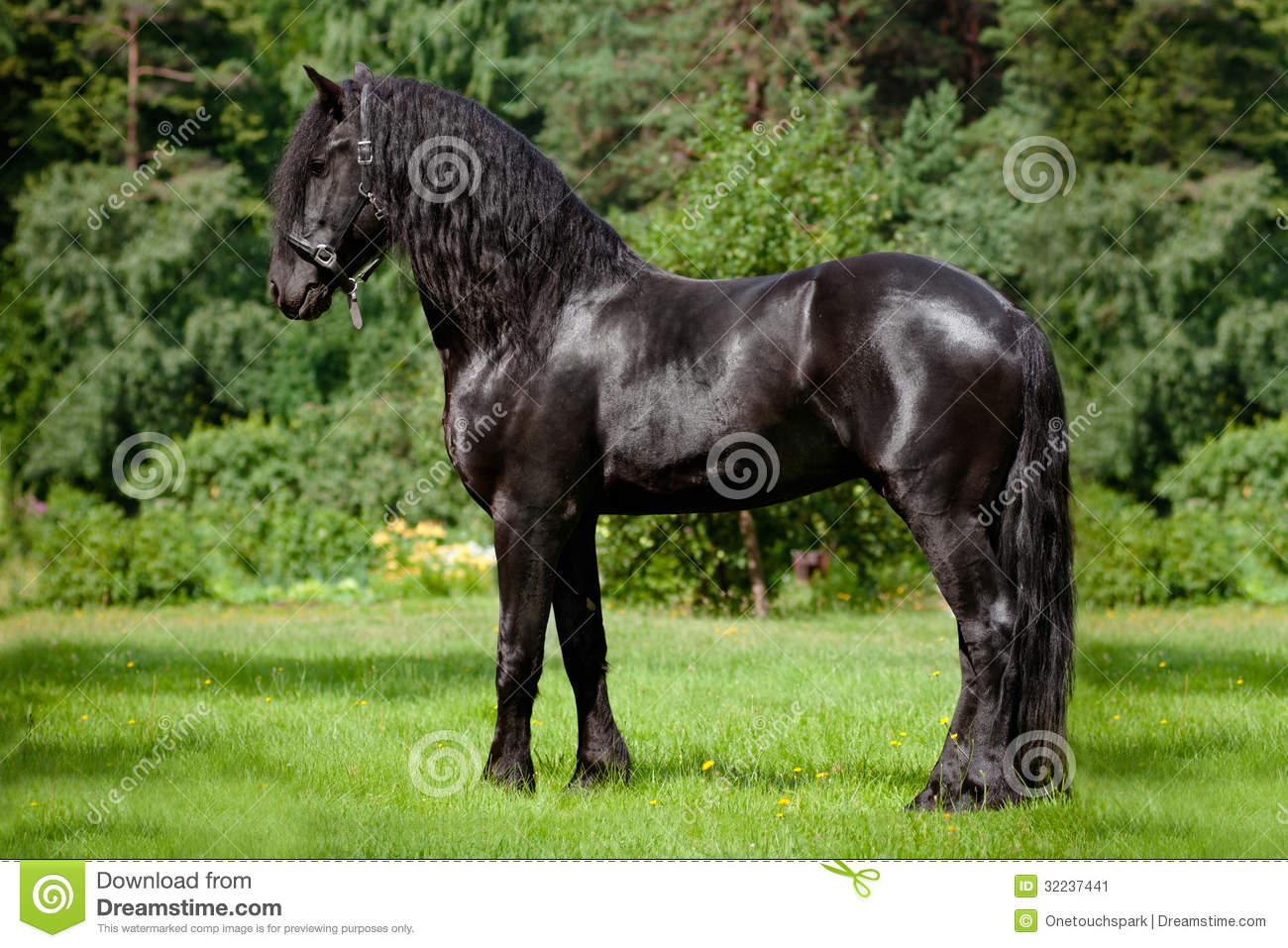 Beautiful friesian horse standing outdoors