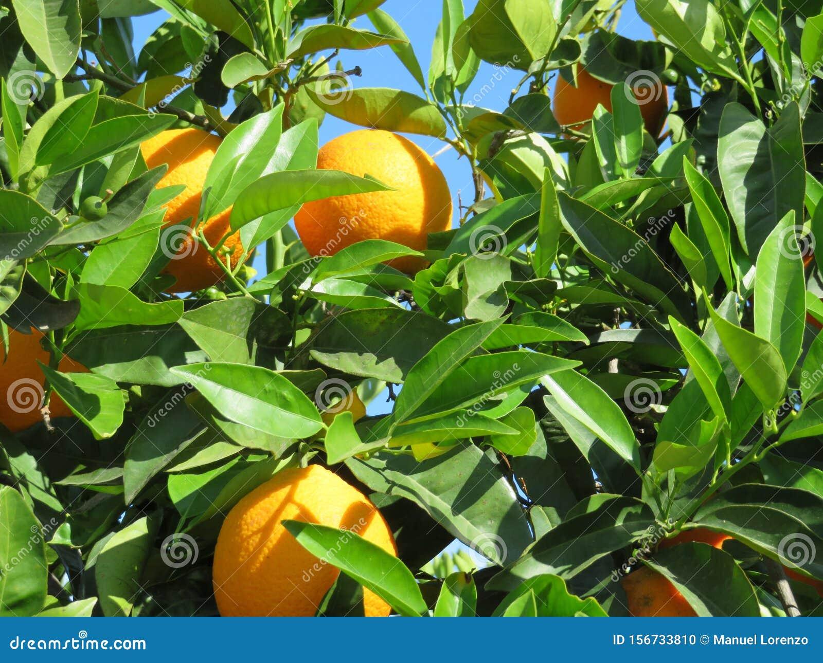 Beautiful Fruit Tree Of Oranges Of Juicy Fruits Stock Photo Image Of Ingredient Diet 156733810