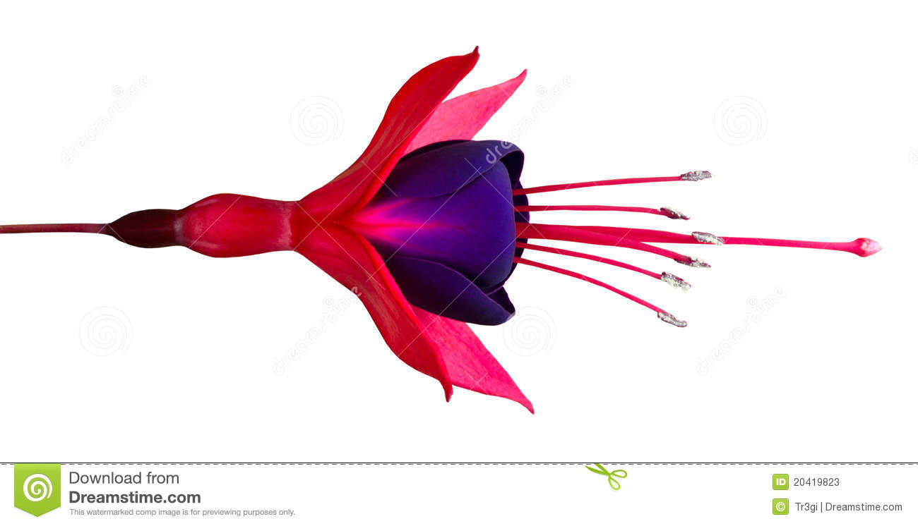 Image Gallery of Fuschia Flower Drawing