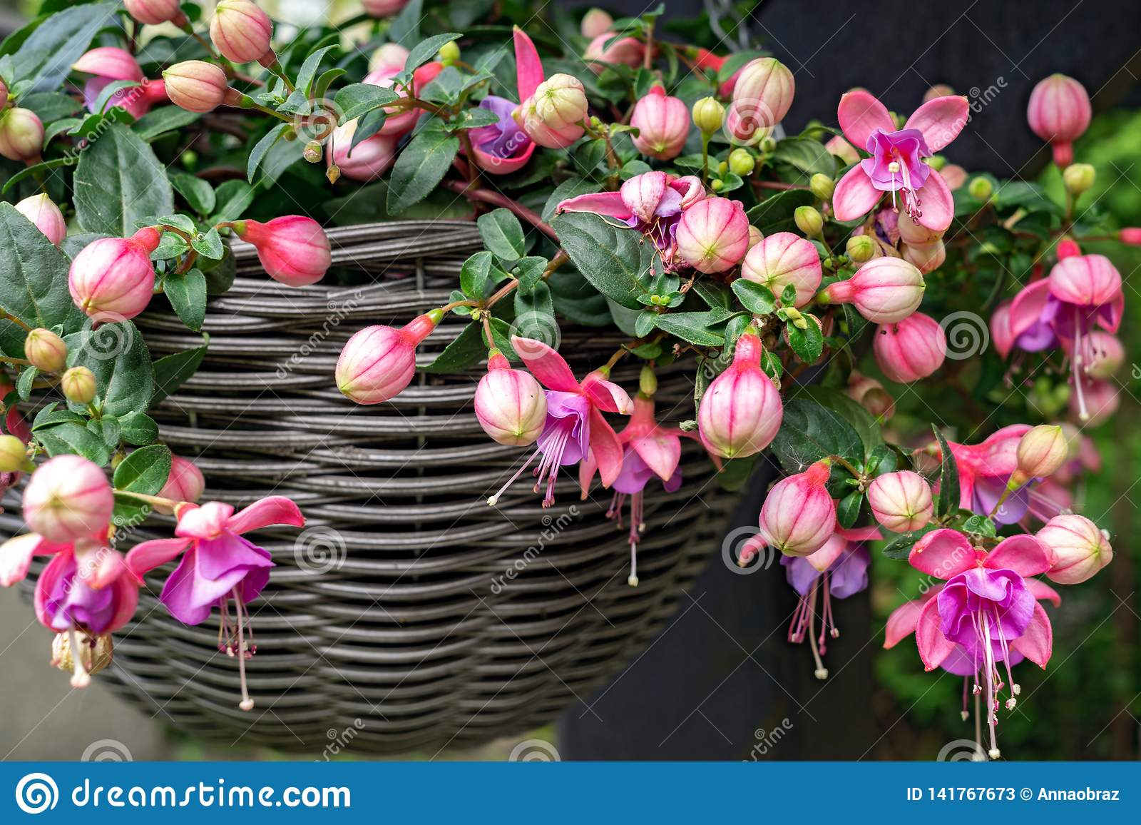 Beautiful fuchsia flowering plants in old wicker pot