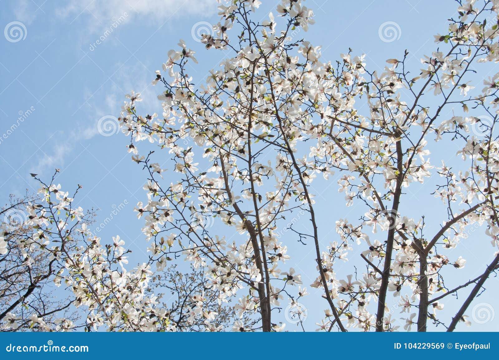 Beautiful full bloom cherry blossom sakura tree with blue bright download beautiful full bloom cherry blossom sakura tree with blue bright stock image image of izmirmasajfo