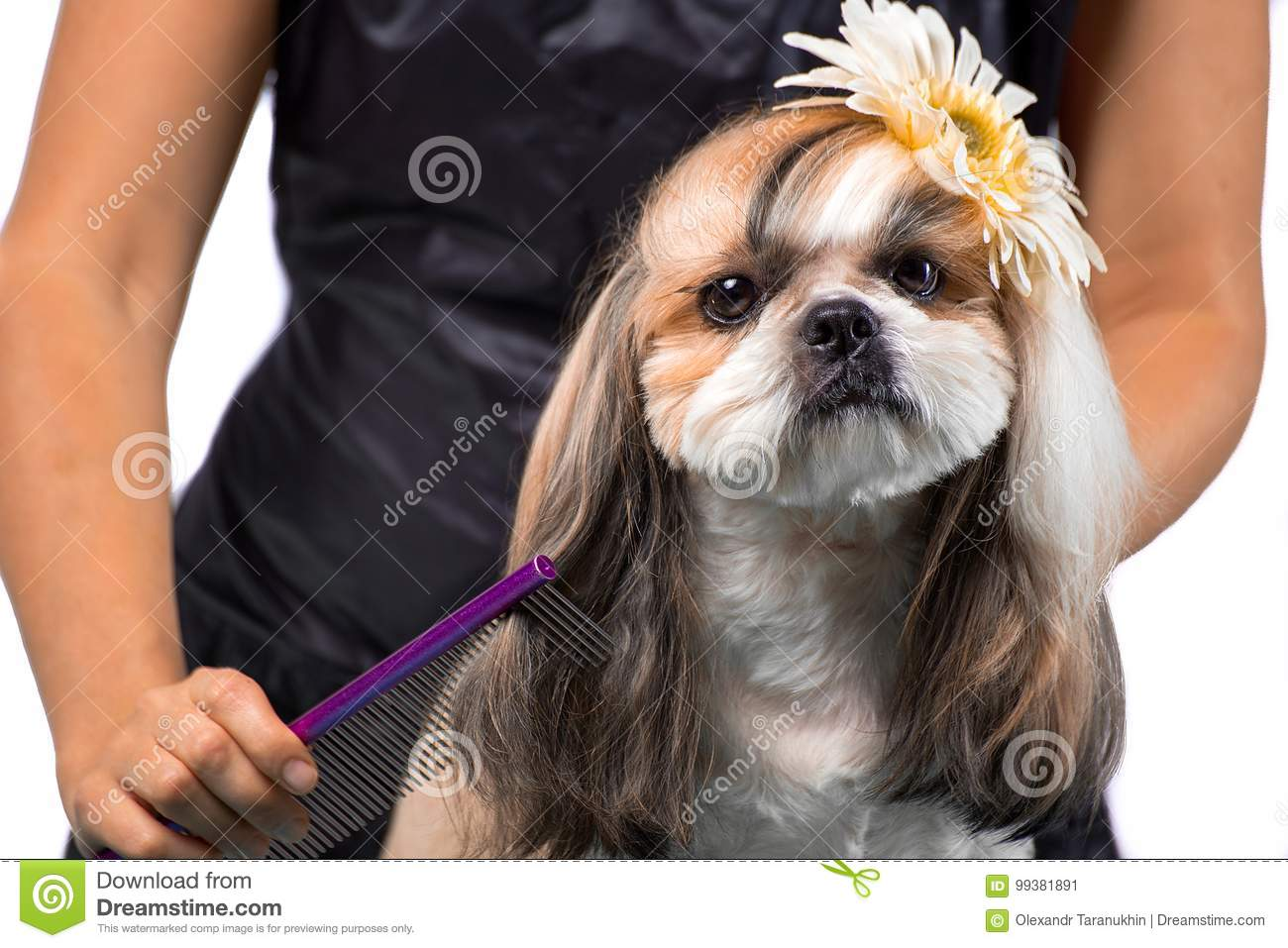 Beautiful Shih Tzu Dog At The Groomers Hands With Comb Stock Image