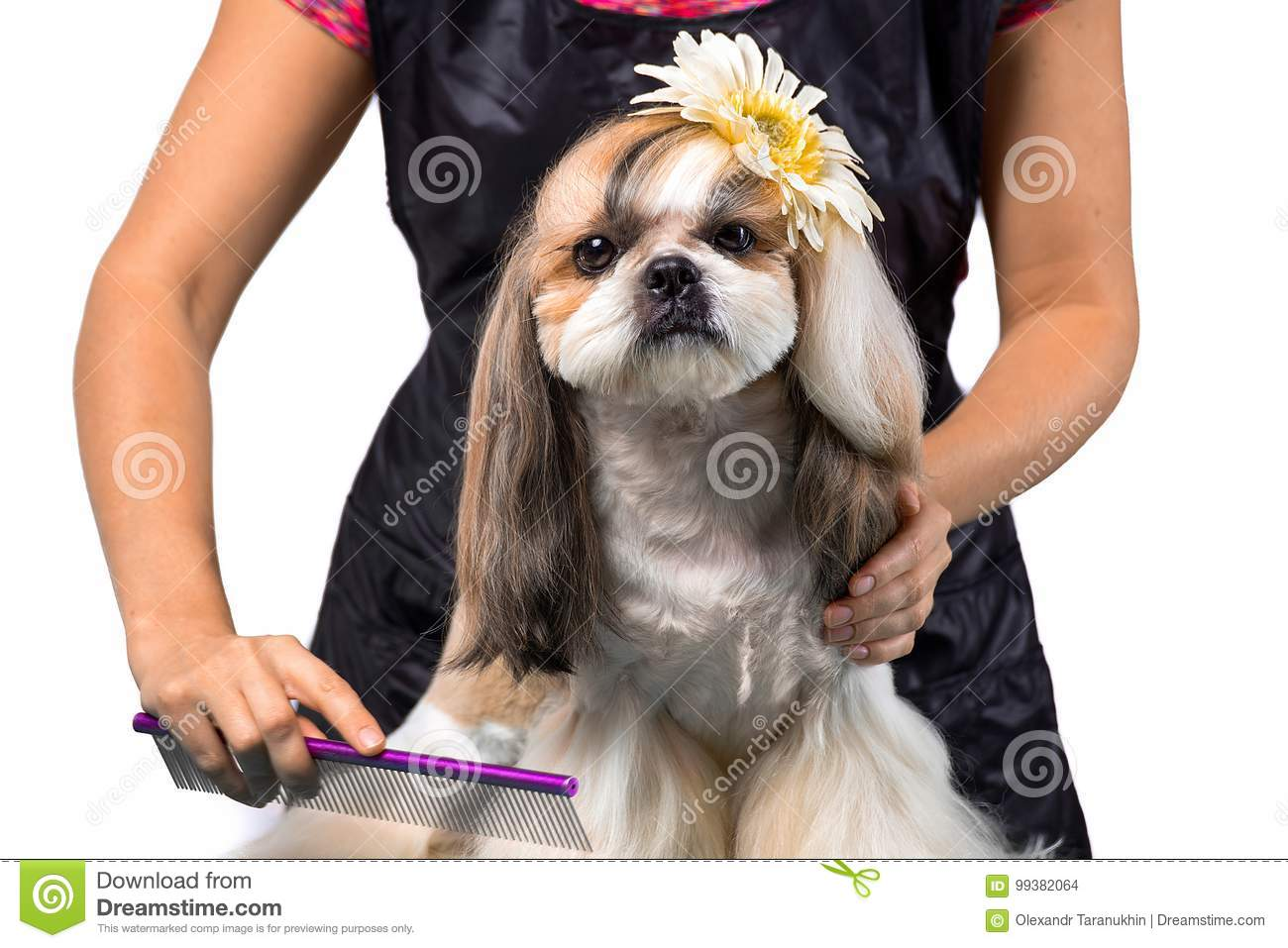 Beautiful Shih Tzu Dog At The Groomers Hands With Comb Stock Photo