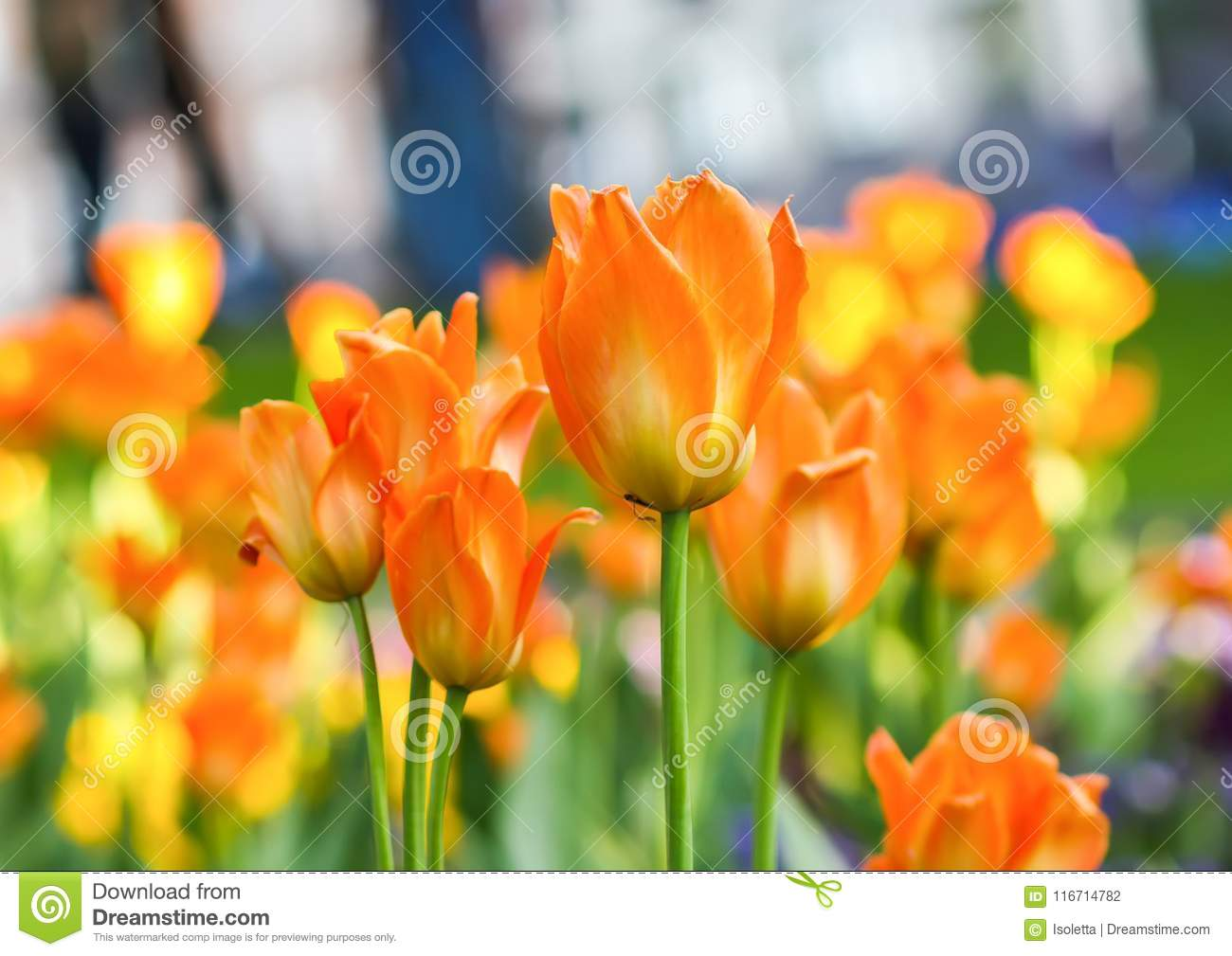 Beautiful garden flowers. Bright tulips in spring park. Urban landscape with decorative plants.