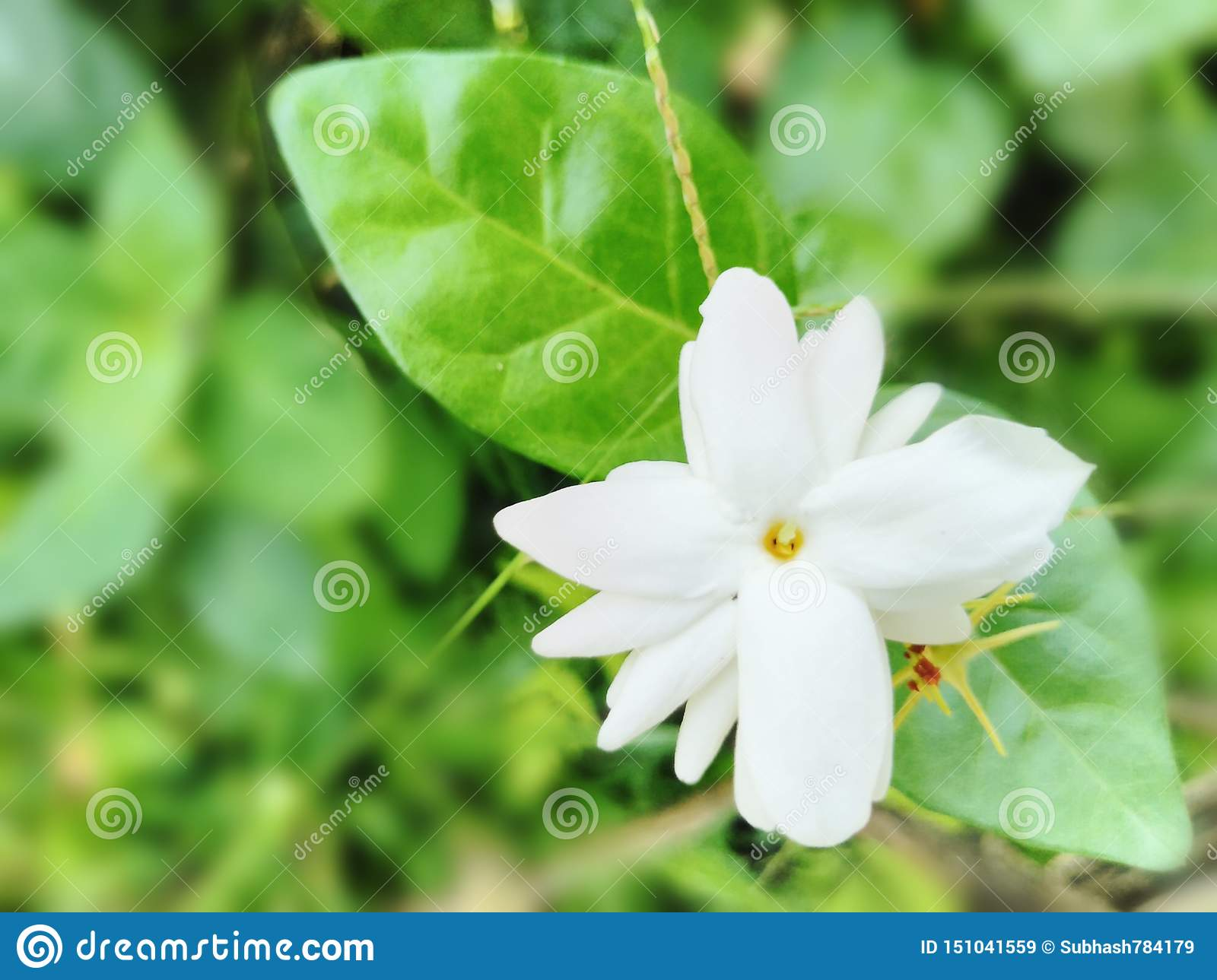 Beautiful Garden White Jasmine Flower Background Wallpaper Picture Stock Image Image Of Flower Colours 151041559