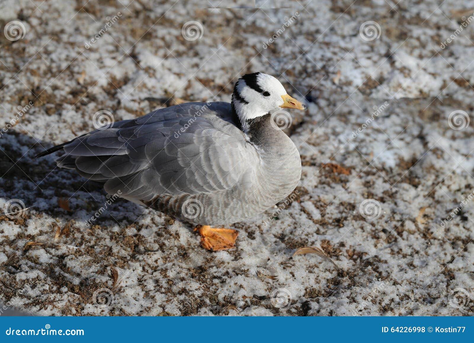 Beautiful Geese Walk Stock Photo