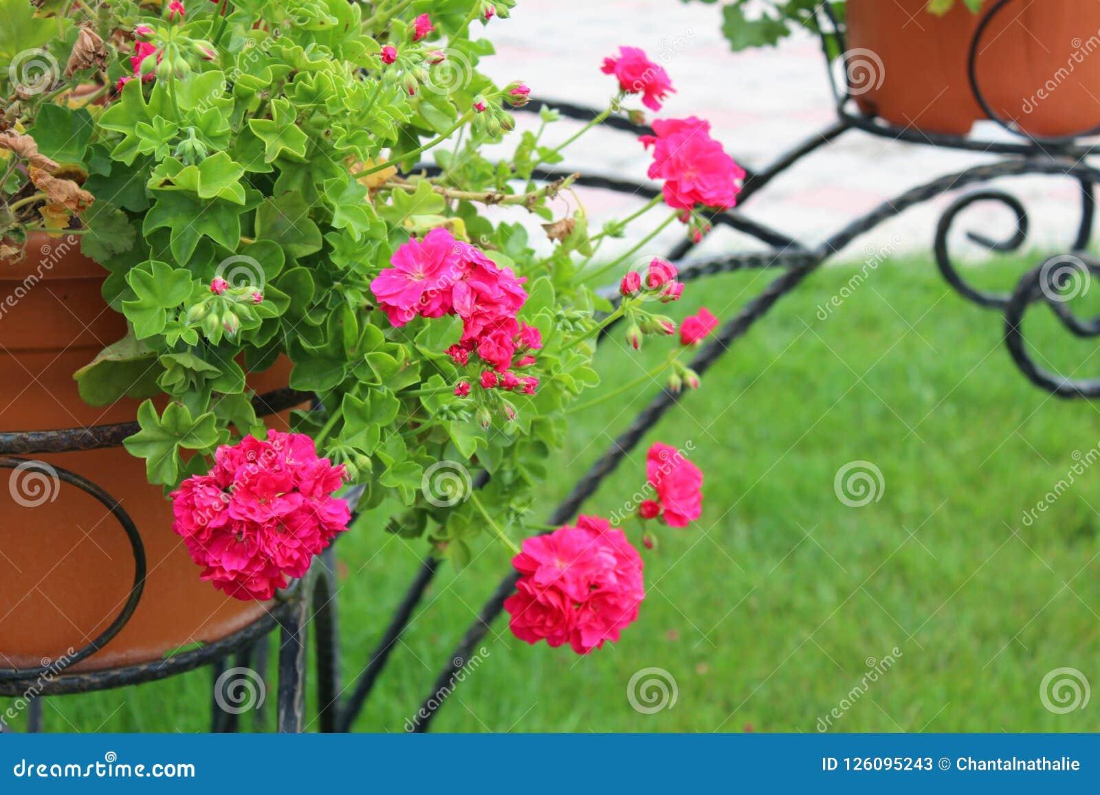 Beautiful geranium flowers