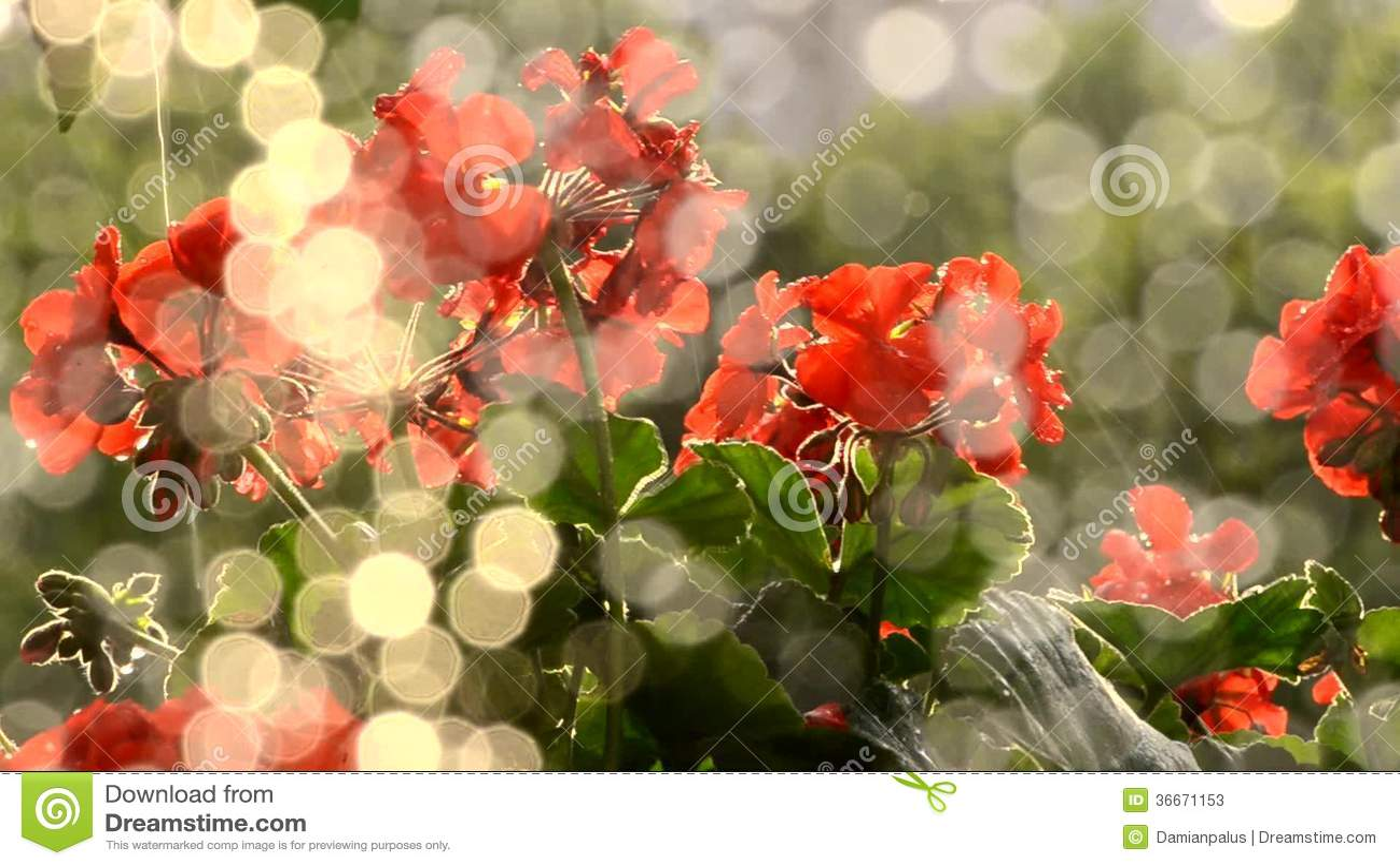 Rain Falling On Flowers
