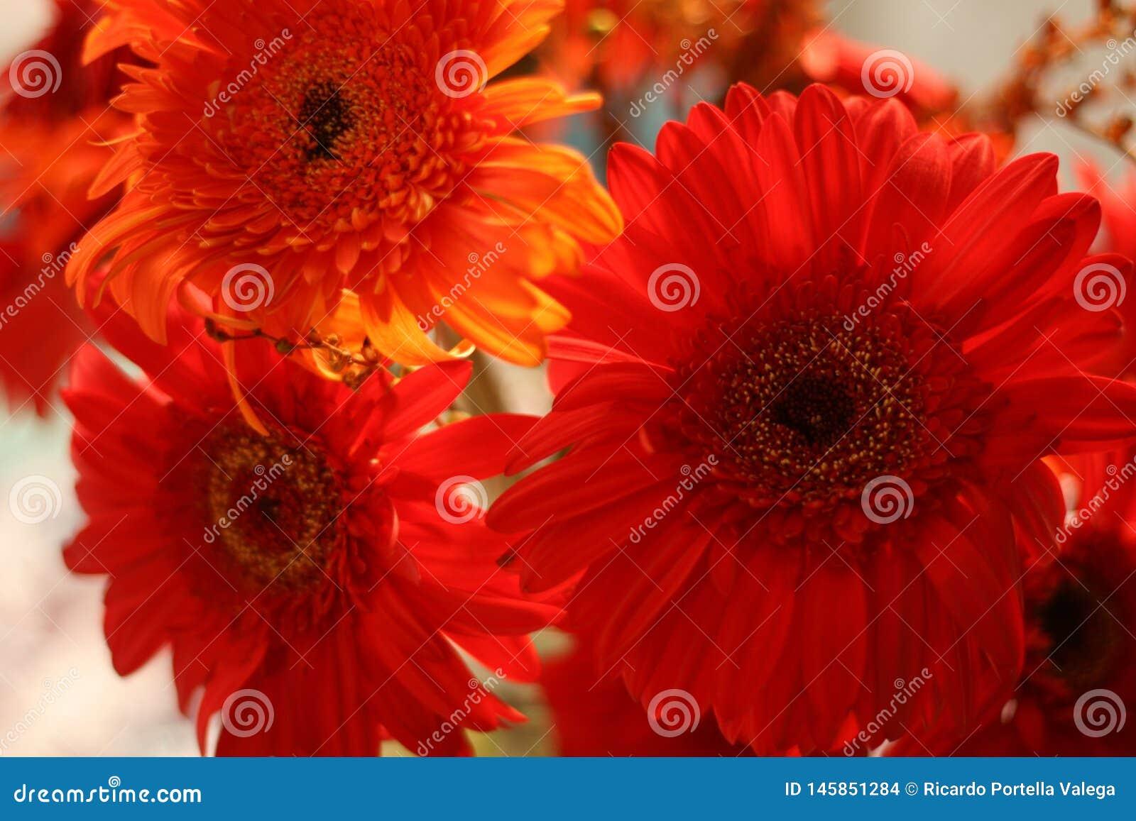 A beautiful Gerbera Daisy blossom