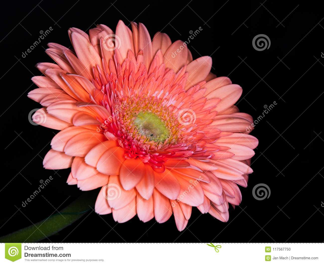 Beautiful Gerbera Daisy Flower Head Detail Stock Photo Image Of