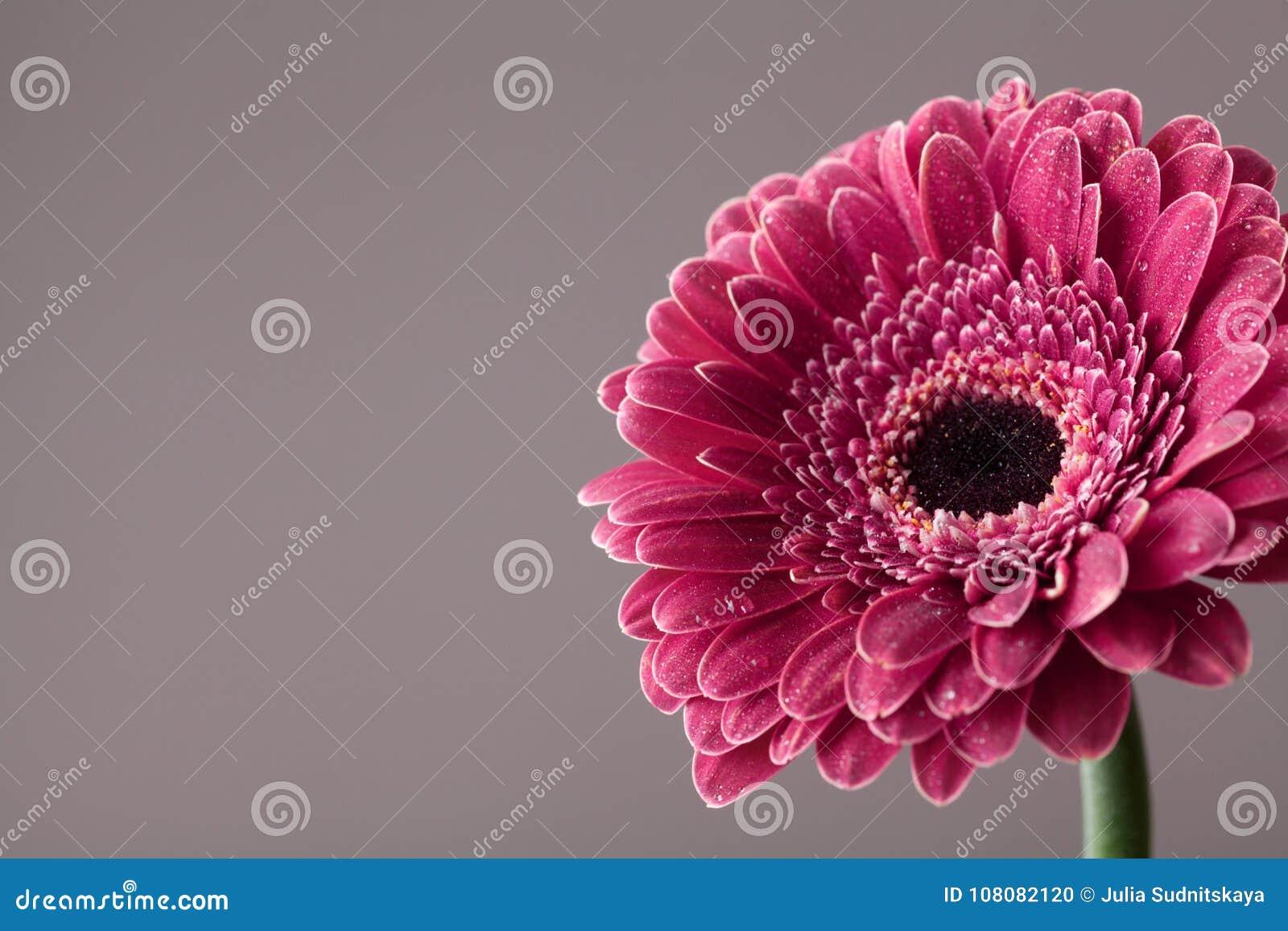 Beautiful gerbera daisy flower in water drops greeting card for download beautiful gerbera daisy flower in water drops greeting card for birthday mother or izmirmasajfo