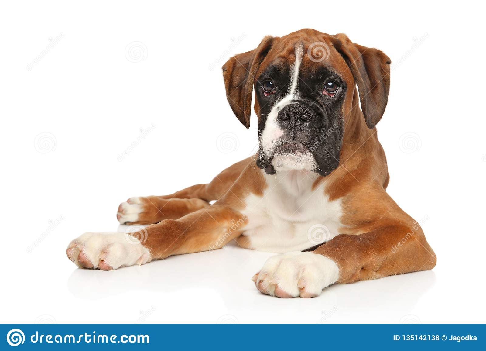Beautiful German Boxer Puppy Lying Down Stock Photo Image Of Doggy Cute 135142138