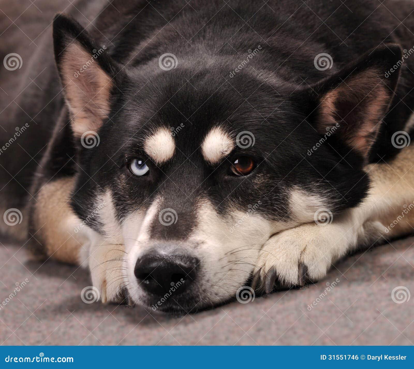 Do It Yourself Home Design: Beautiful German Shepherd Husky Mix Dog Looking Bo Stock