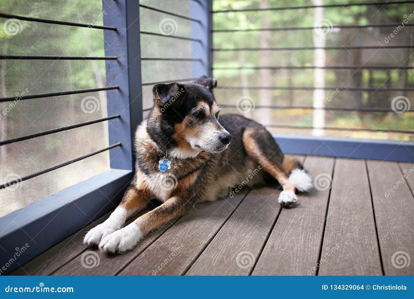 Beautiful German Shepherd Mix Breed Dog Keeping Watch from Cabin Porch