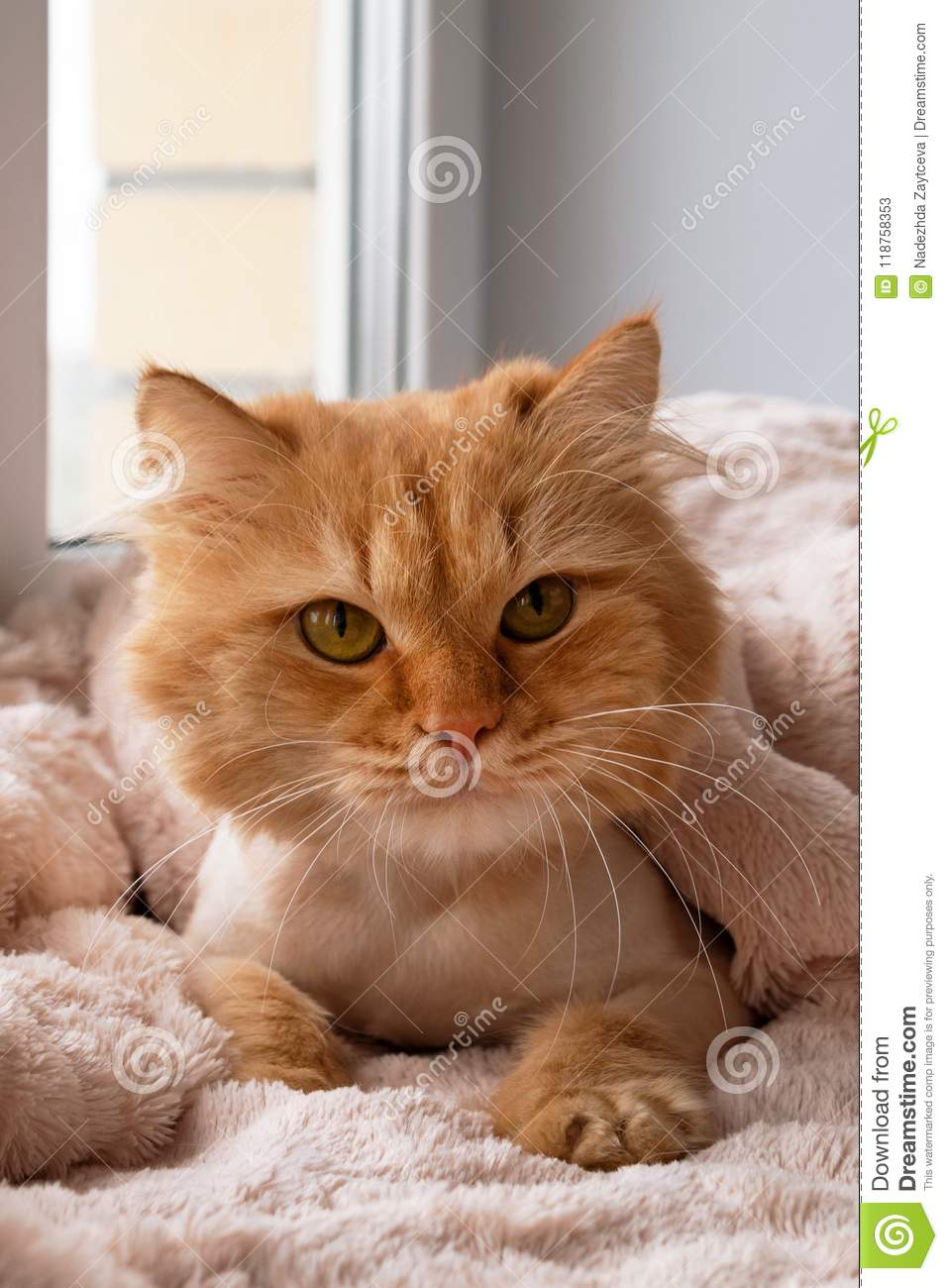 Beautiful Ginger Long Haired Cat Groomed With Haircut Under A Soft