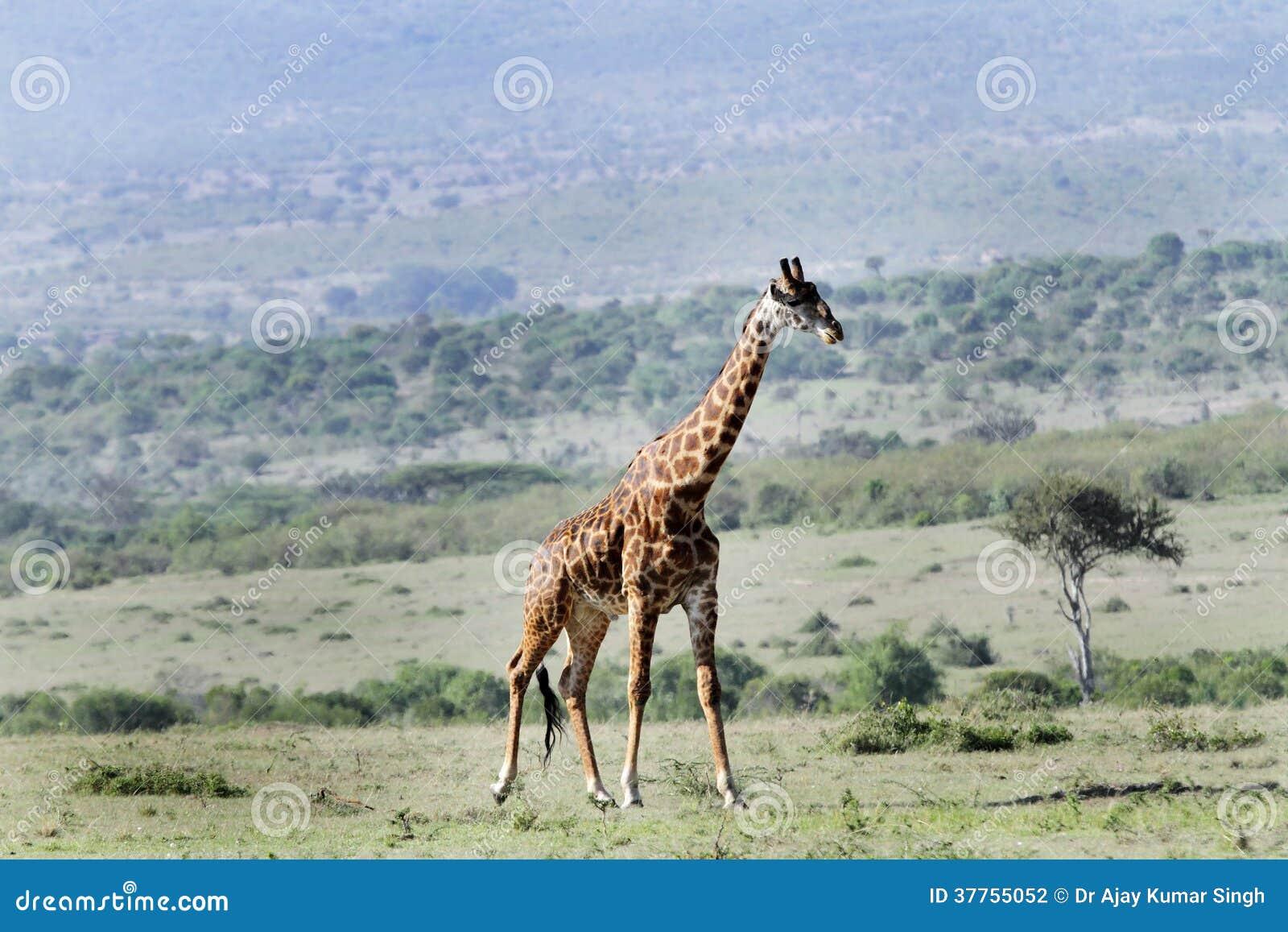 A Beautiful Giraffes And Its Habitat Stock Photo - Image ...