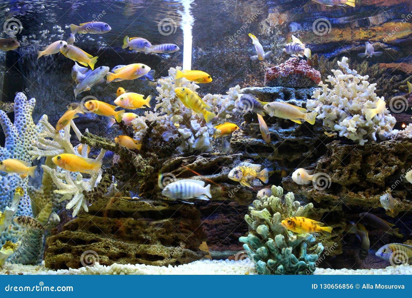 Beautiful gold sea fish swims in the aquarium