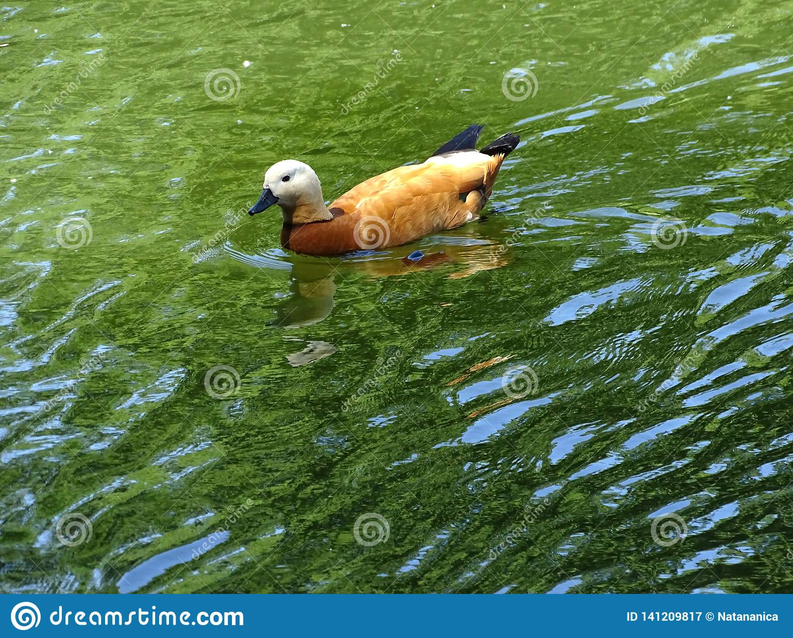 Beautiful Golden Duck swimming in the green lake water