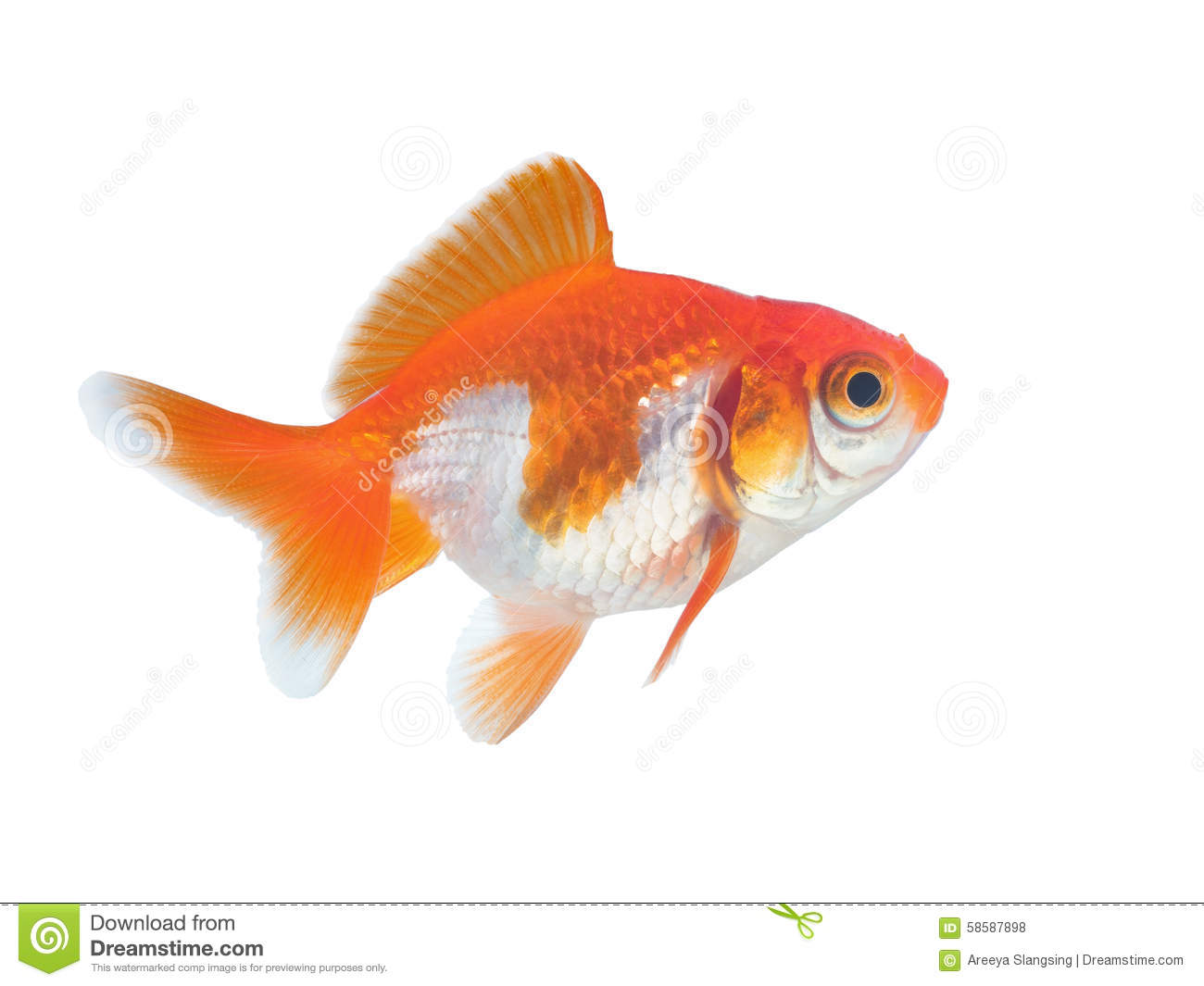 Beautiful Golden Fish On White Stock Photo - Image: 58587898