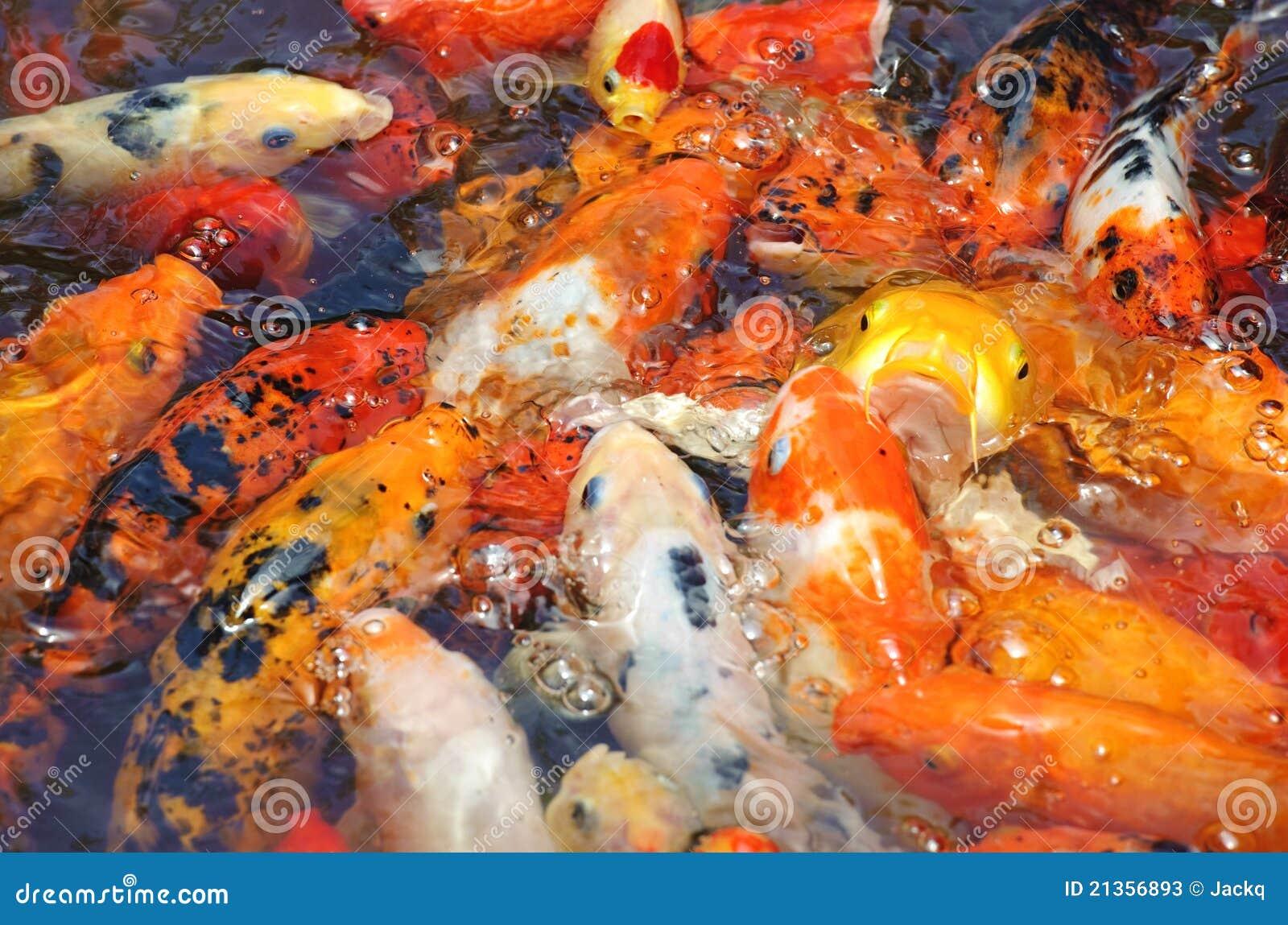 Beautiful golden koi fish stock photos image 21356893 for Beautiful koi fish