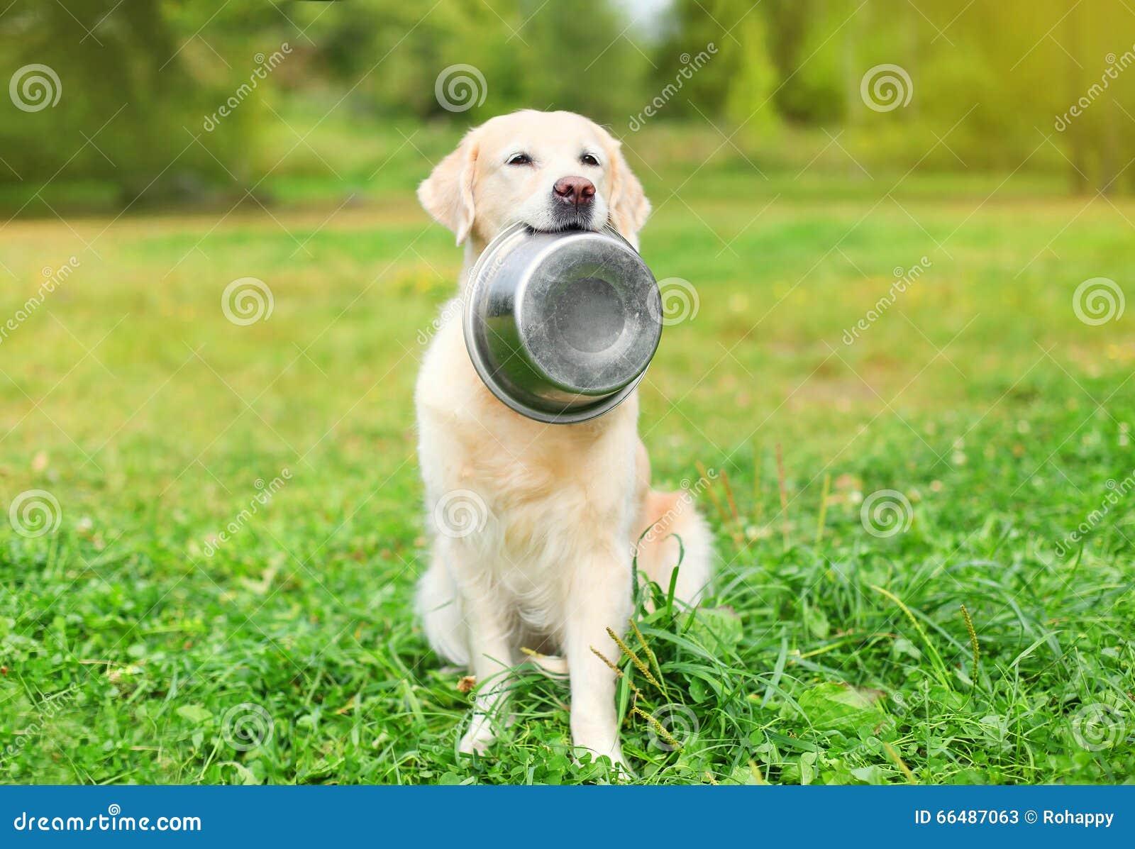 Beautiful Golden Retriever dog holding in teeth bowl on grass