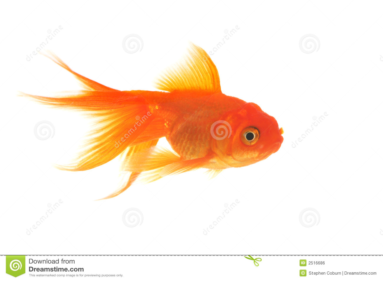 how to raise big goldfish