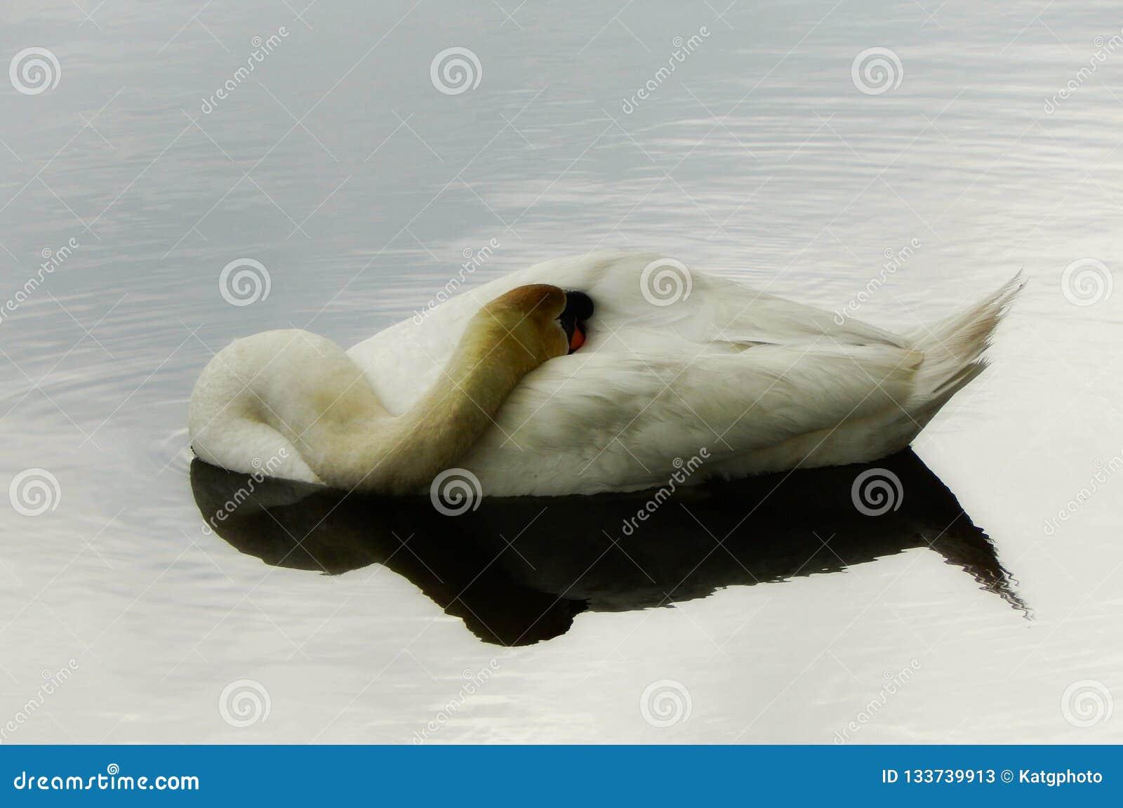 Mute Swan Sleeping On The Water