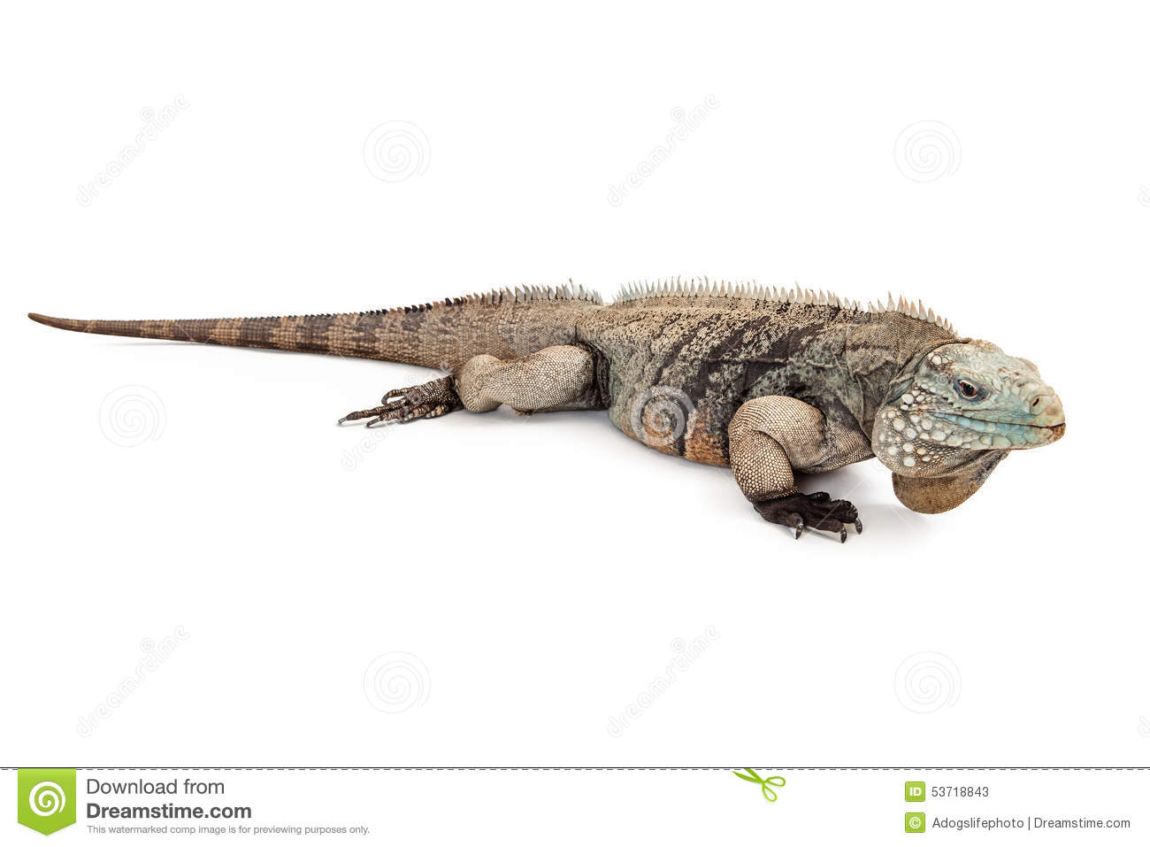 Beautiful Grand Cayman Blue Iguana Stock Photo - Image: 53718843